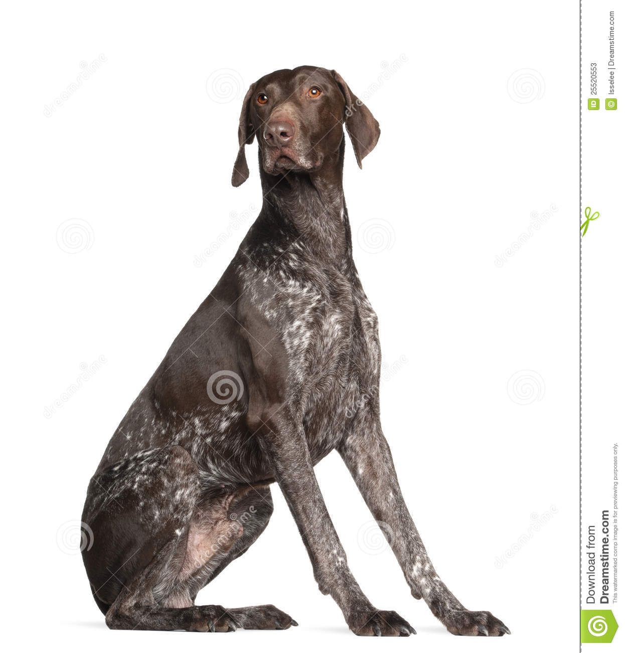 German Shorthaired Pointer, 4 years old, sitting