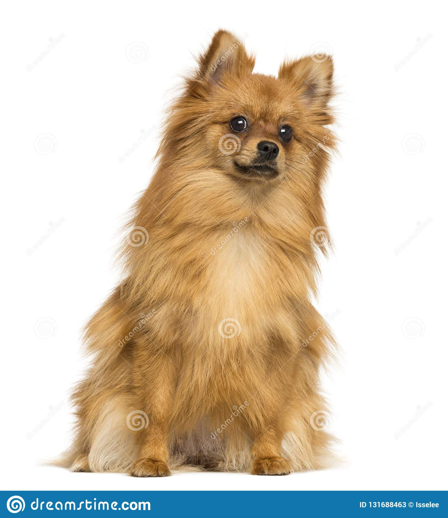 German Spitz sitting, 1 year old, isolated