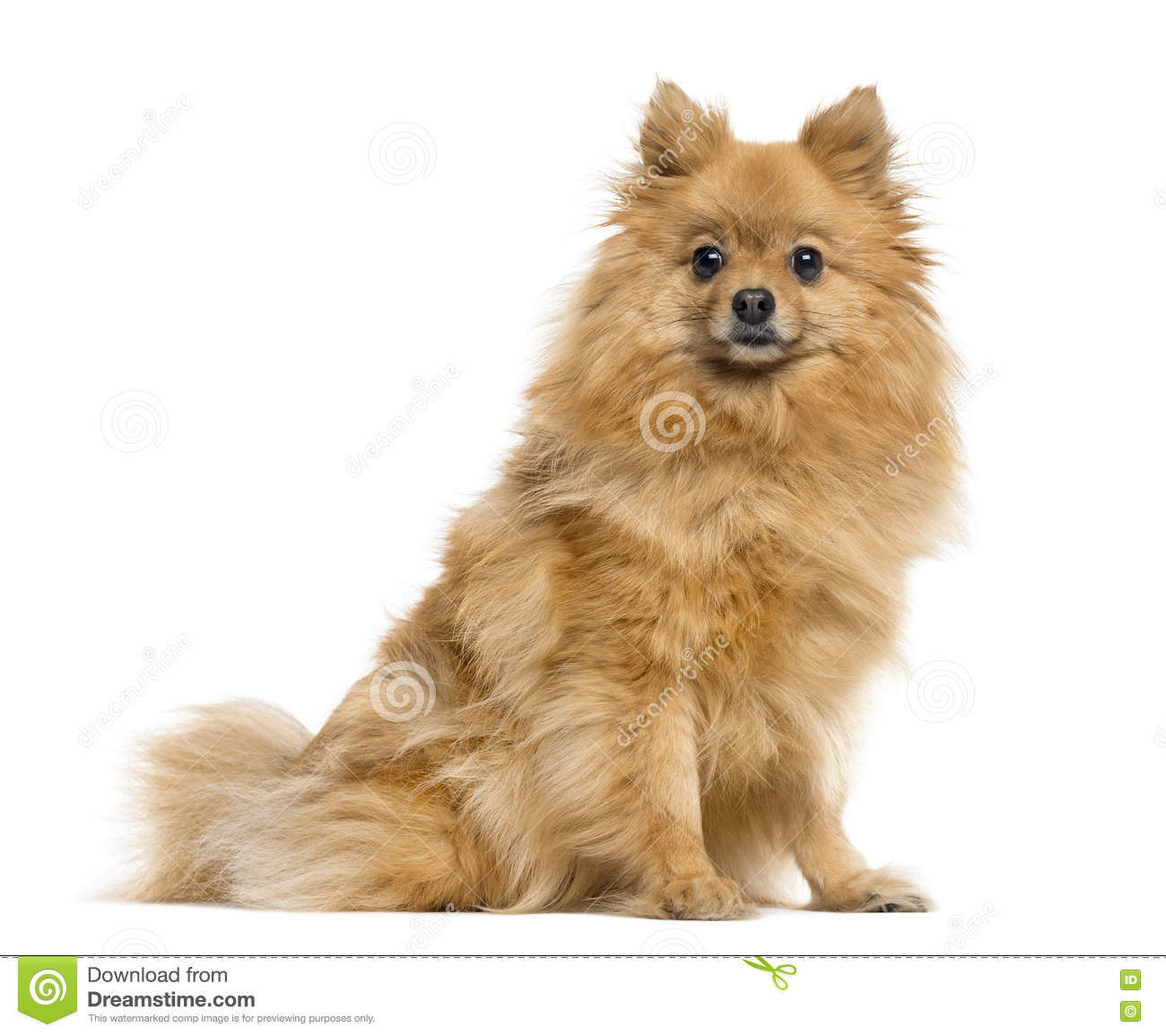 German Spitz on white