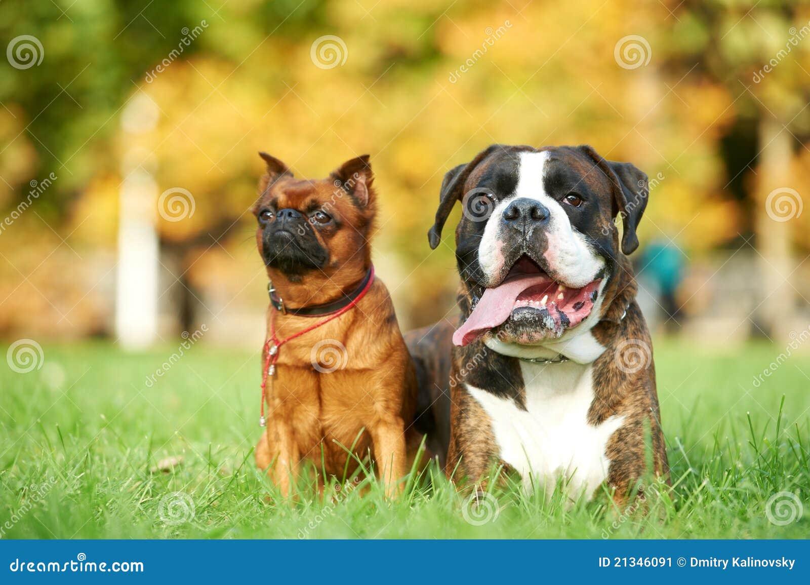 german tiger boxer dog and petit brabancon griffon stock image