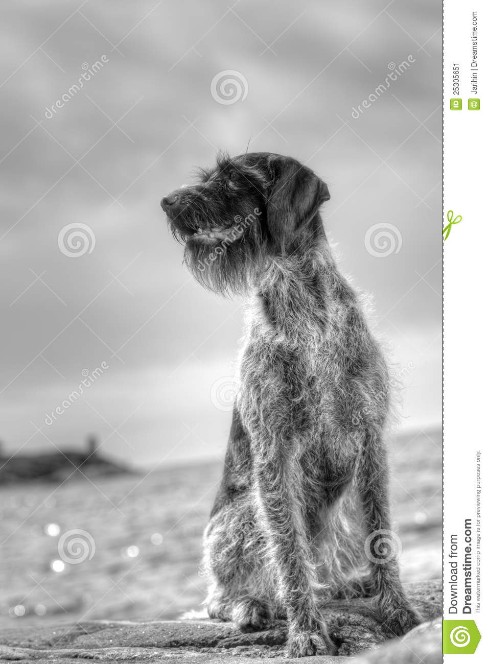German wire-haired pointer stock image. Image of beard - 25305651