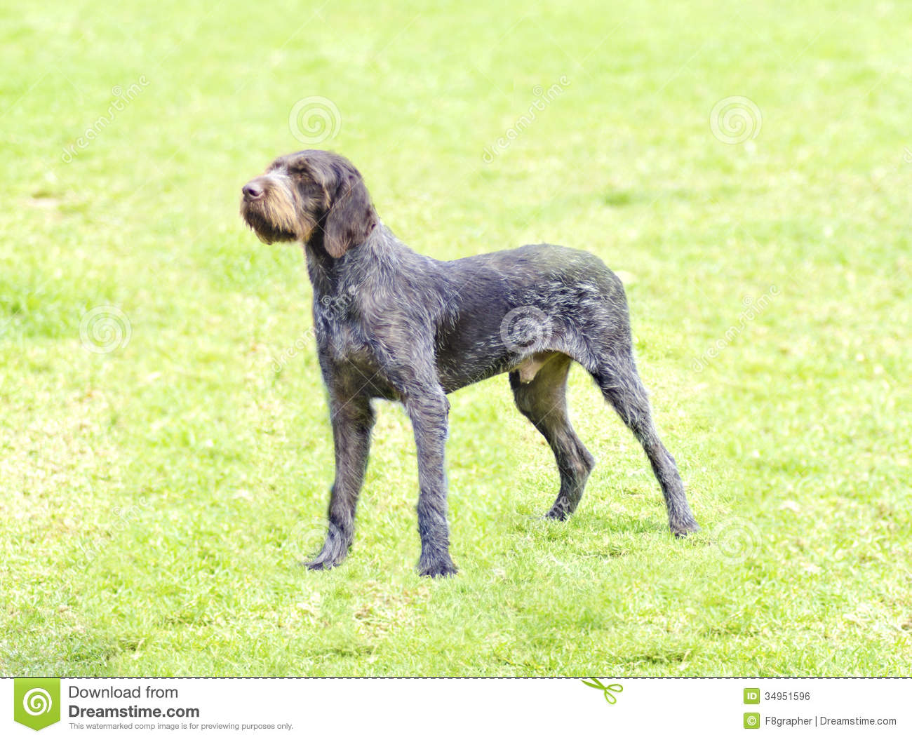 German Wirehaired Pointer Royalty Free Stock Image - Image ...  Black German Wirehaired Pointer