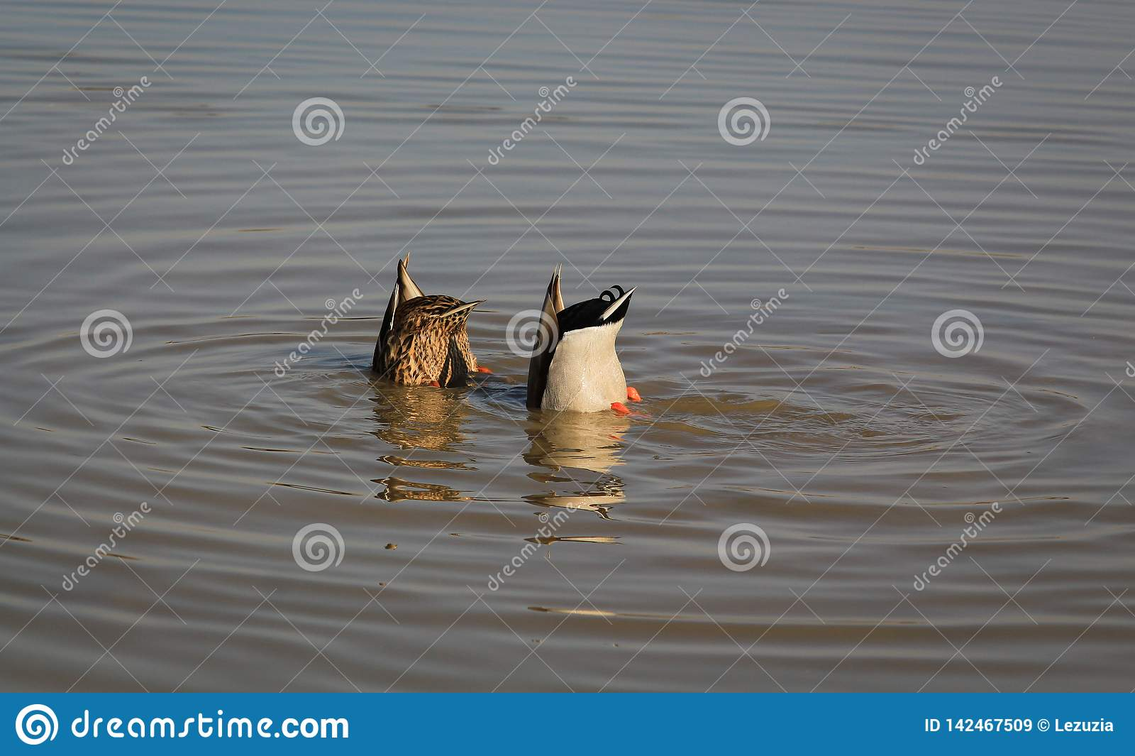 Germani reali di pesca nel fiume