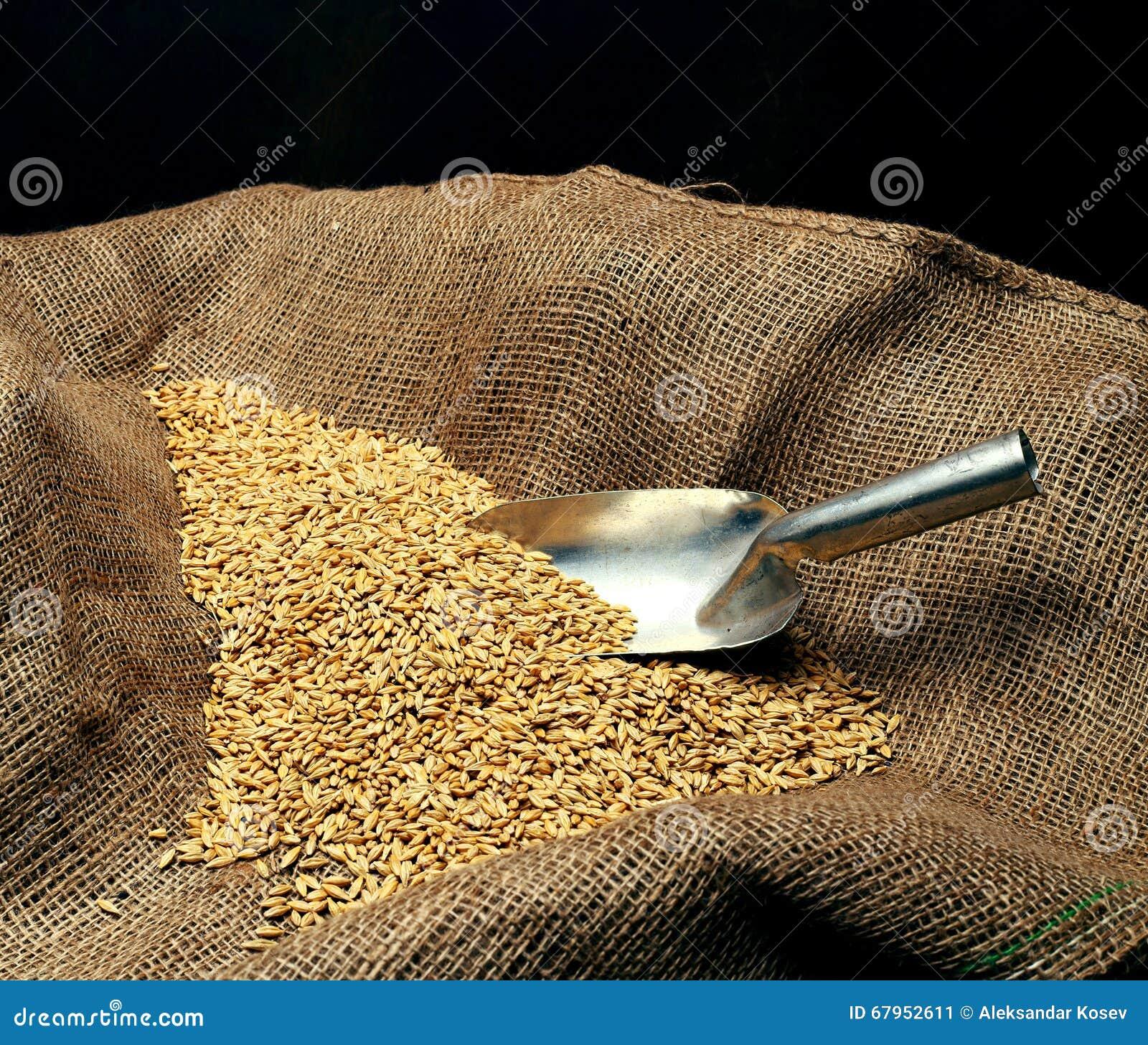 Germen de la siembra del trigo