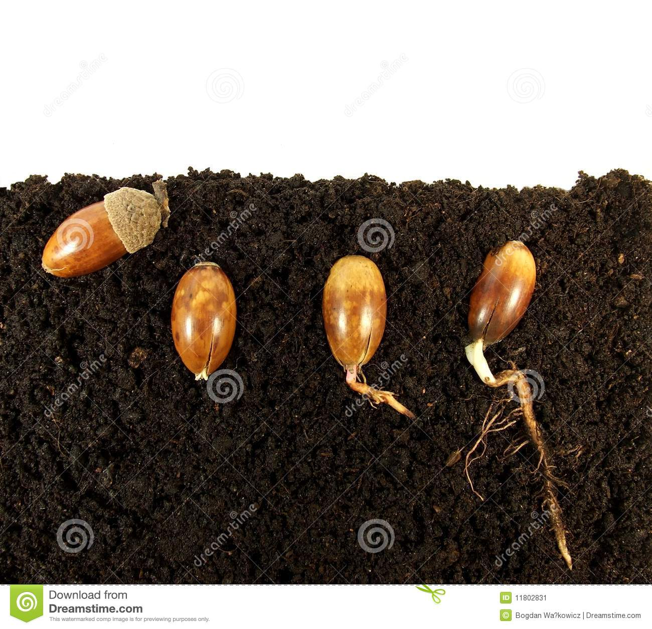 Germinating Acorns Stock Image Image Of Botanical
