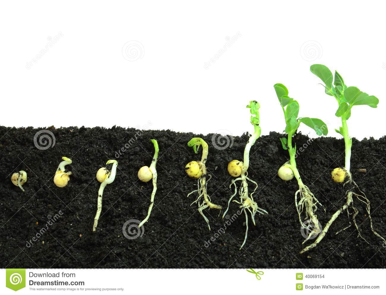 Germinating pea seeds stock photo image of germinate for Graine interieur