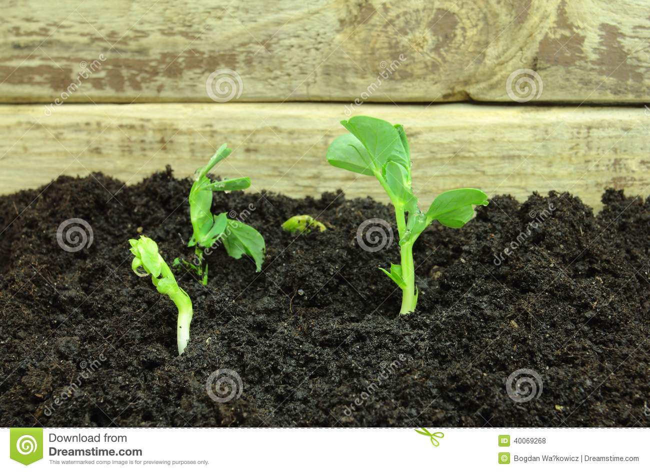 Germinating pea seeds stock photo image 40069268 for Soil and green