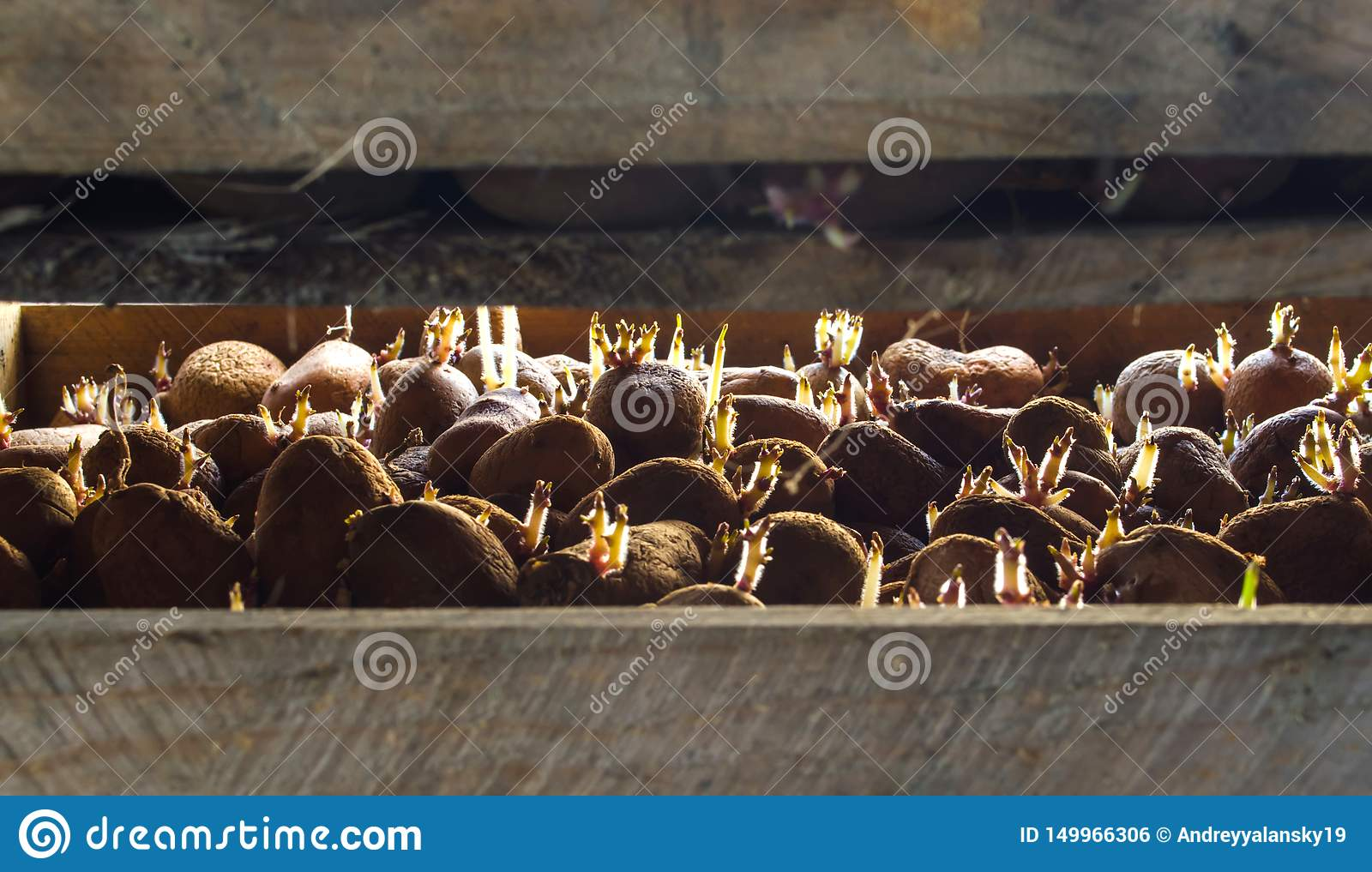 Germinating seed potatoes with roots in wooden boxes. Traditional agriculture. Farming. Food stocks, harvest