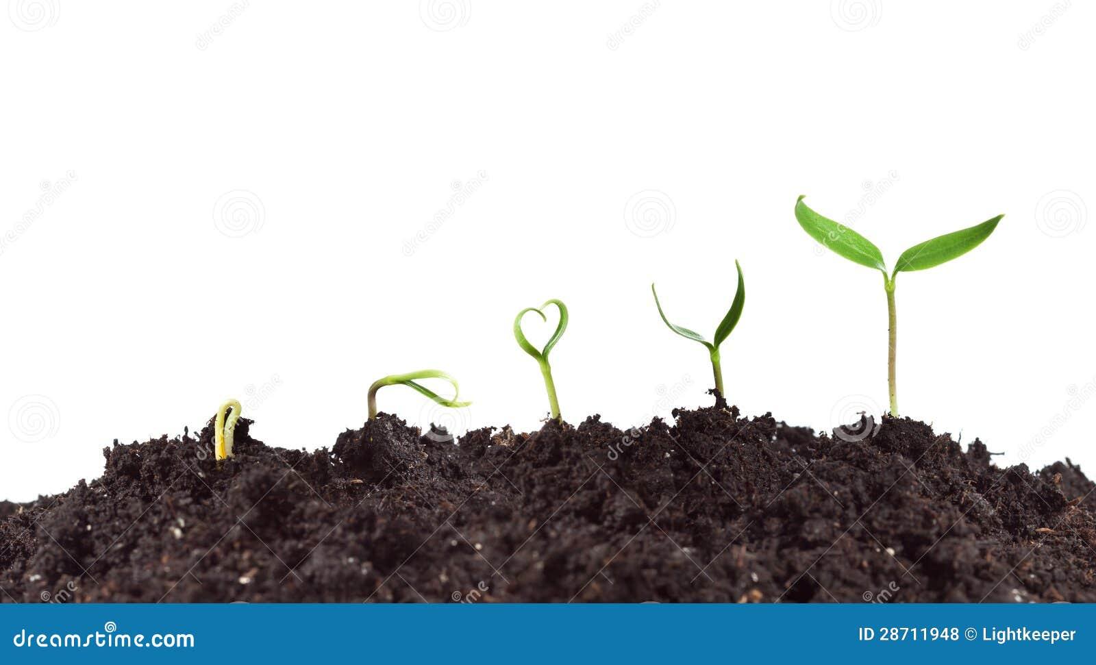 Germinazione e crescita della pianta