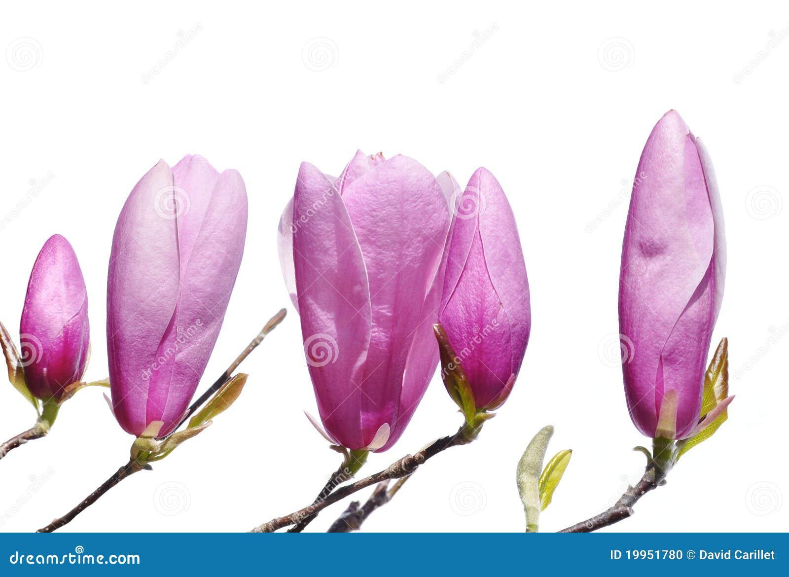 Germogli dentellare della magnolia del giglio in primavera for Magnolia pianta prezzi