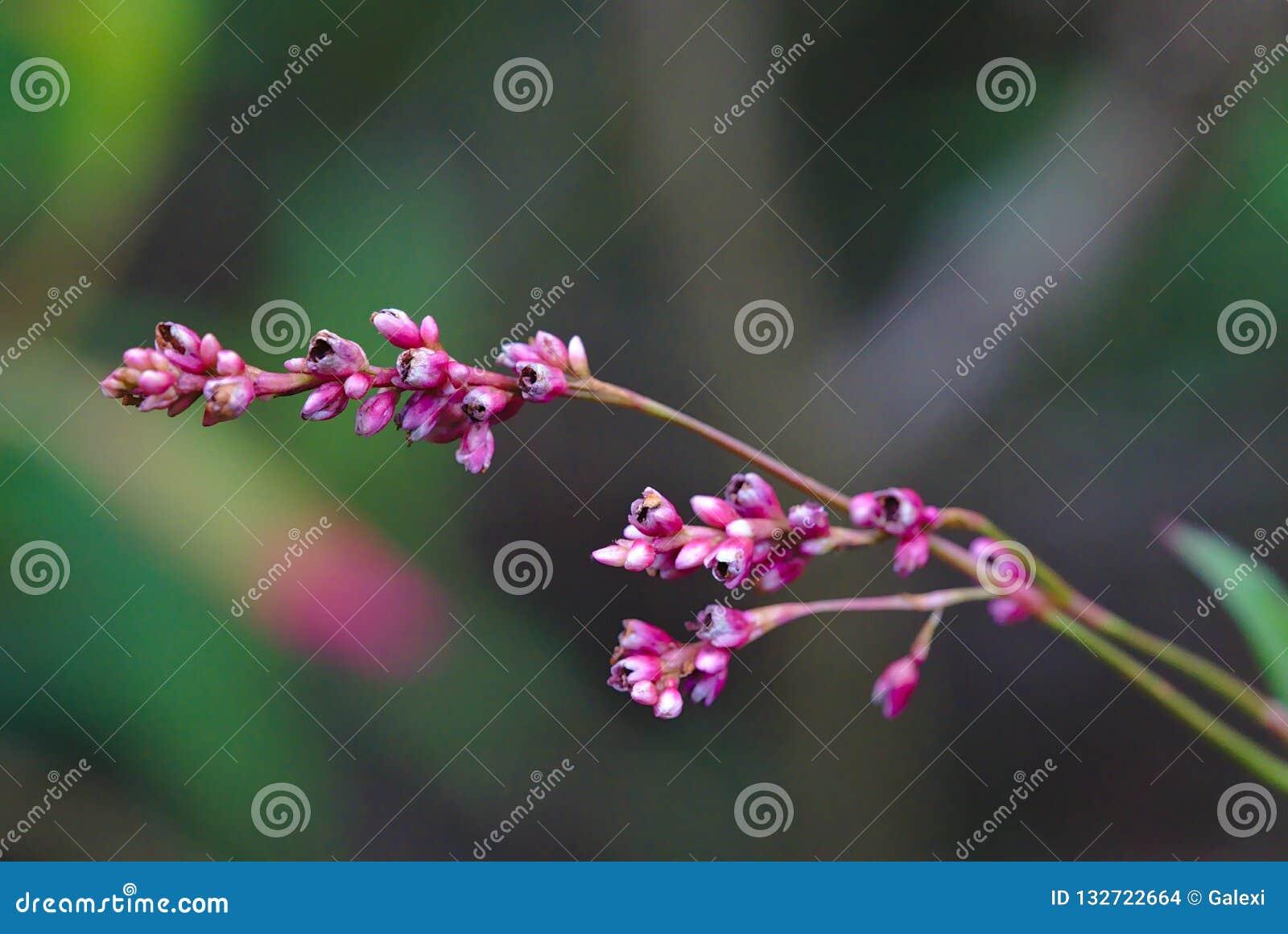 Germogli di fiore rosa sboccianti