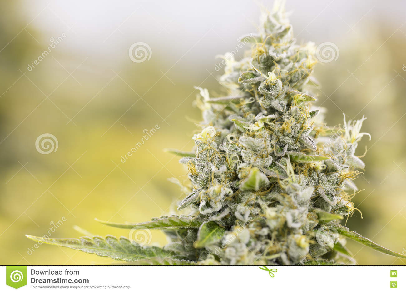 Germogli di fioritura della marijuana (cannabis), pianta della canapa Raccolto dell interno molto grande dell erbaccia