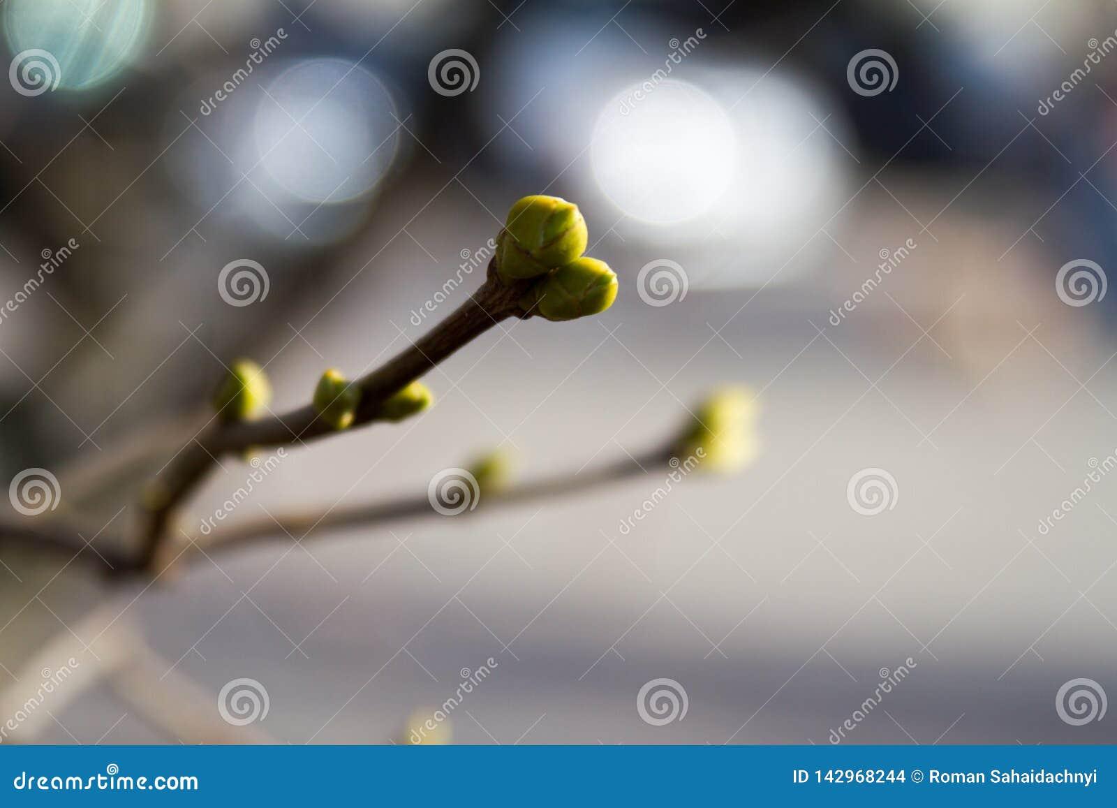 Germogli verdi sui rami in primavera Natura e fiorire nel tempo di primavera