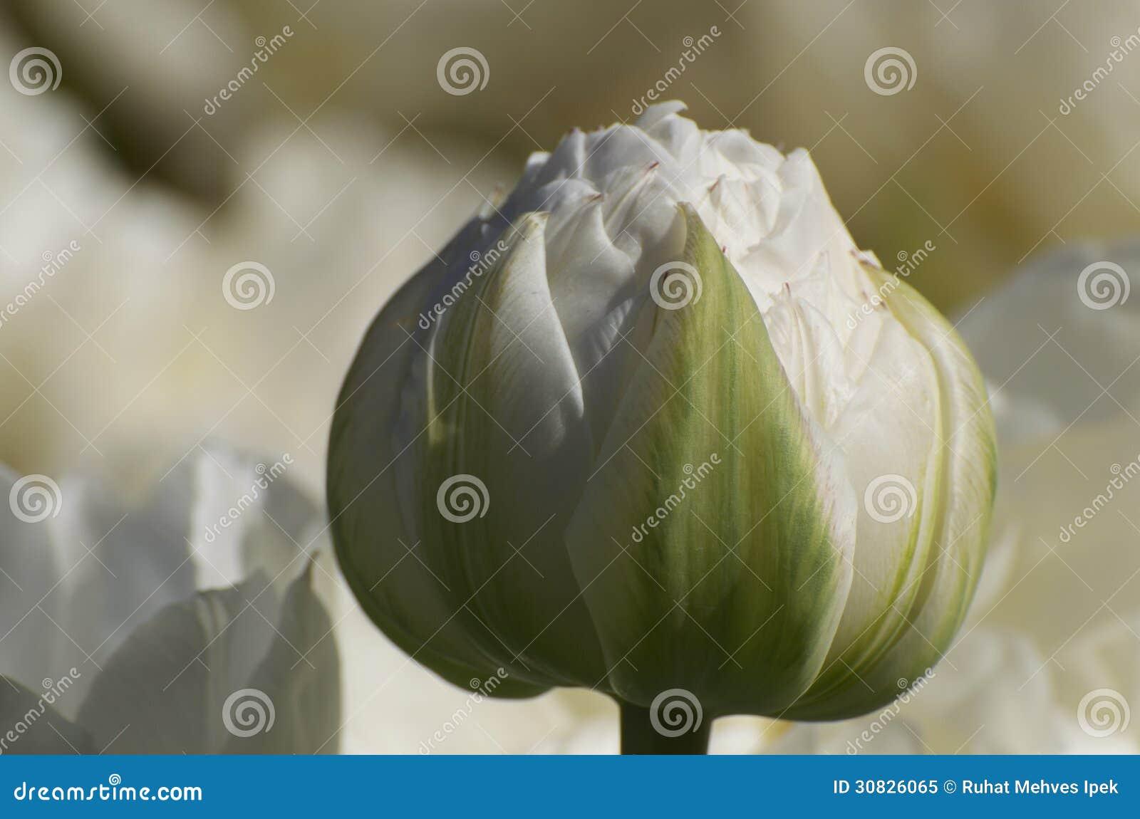 Germoglio bianco di Paeonia
