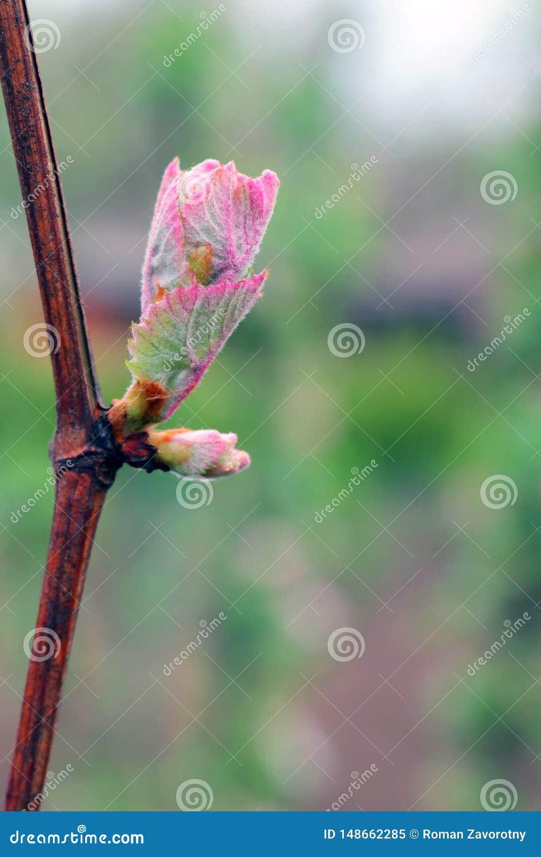 Germoglio dell uva sui bei precedenti