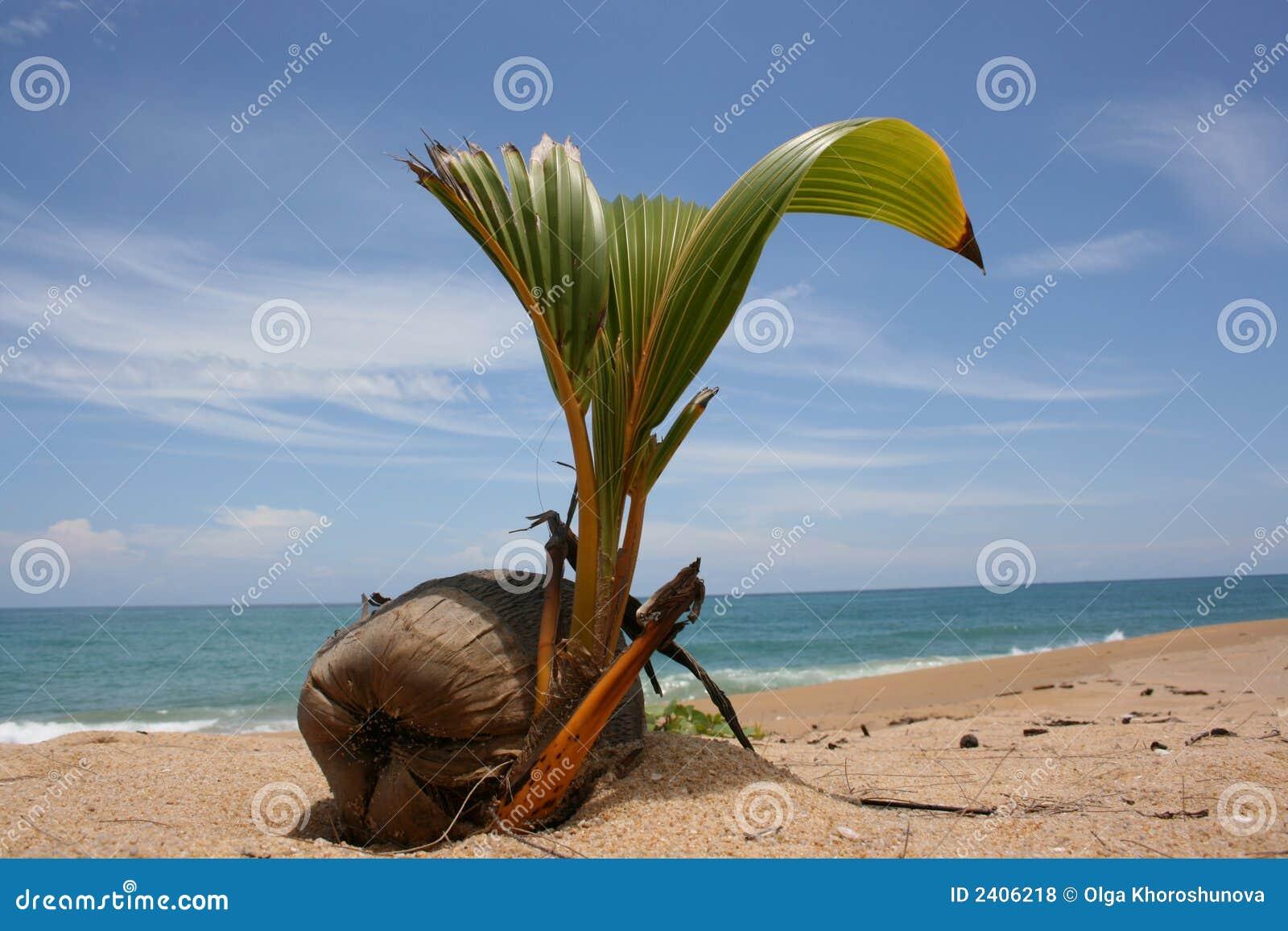 Germoglio della noce di cocco fotografia stock immagine for Pianta di cocco