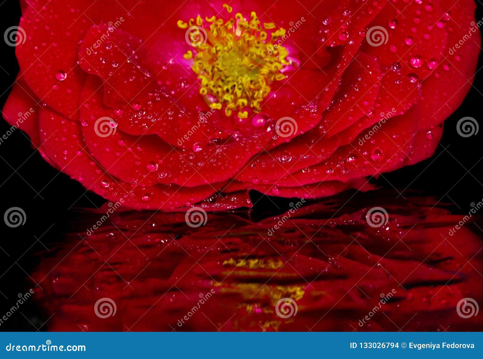 Germoglio della rosa rossa su vetro