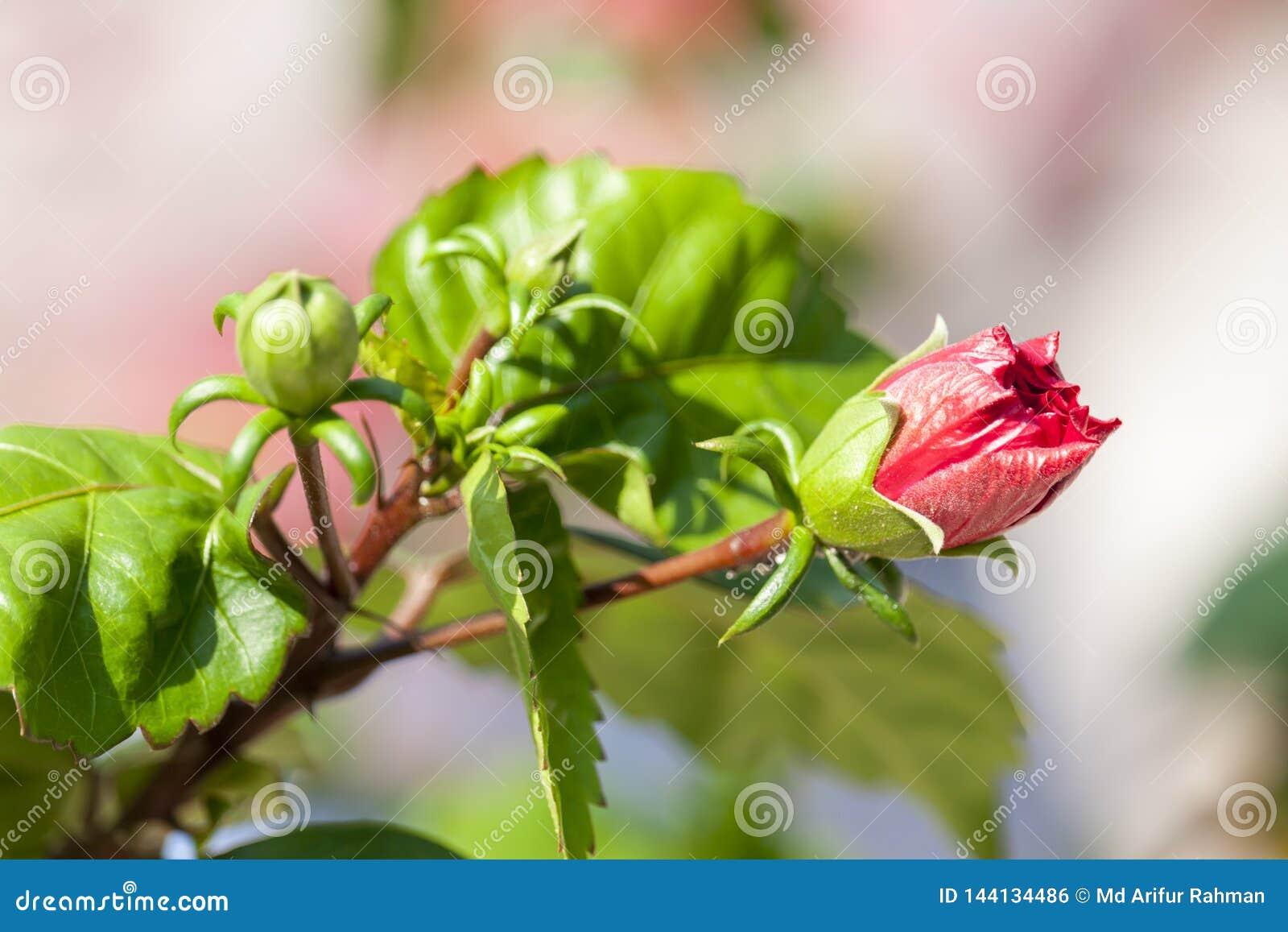 Germoglio di fiore rosso dell ibisco