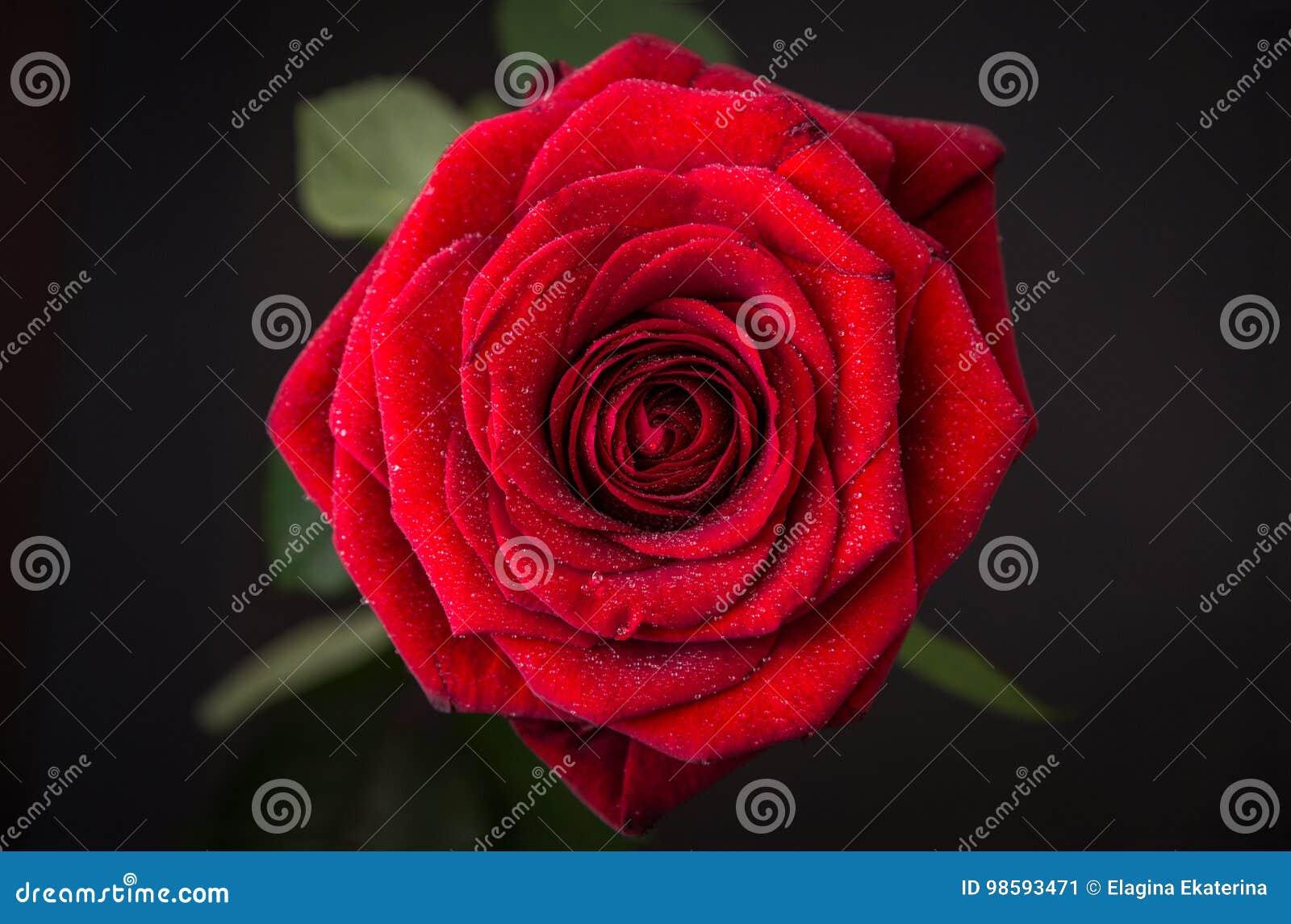 Germoglio Di Una Rosa Rossa Con Le Gocce Di Acqua Su Un Fondo Scuro