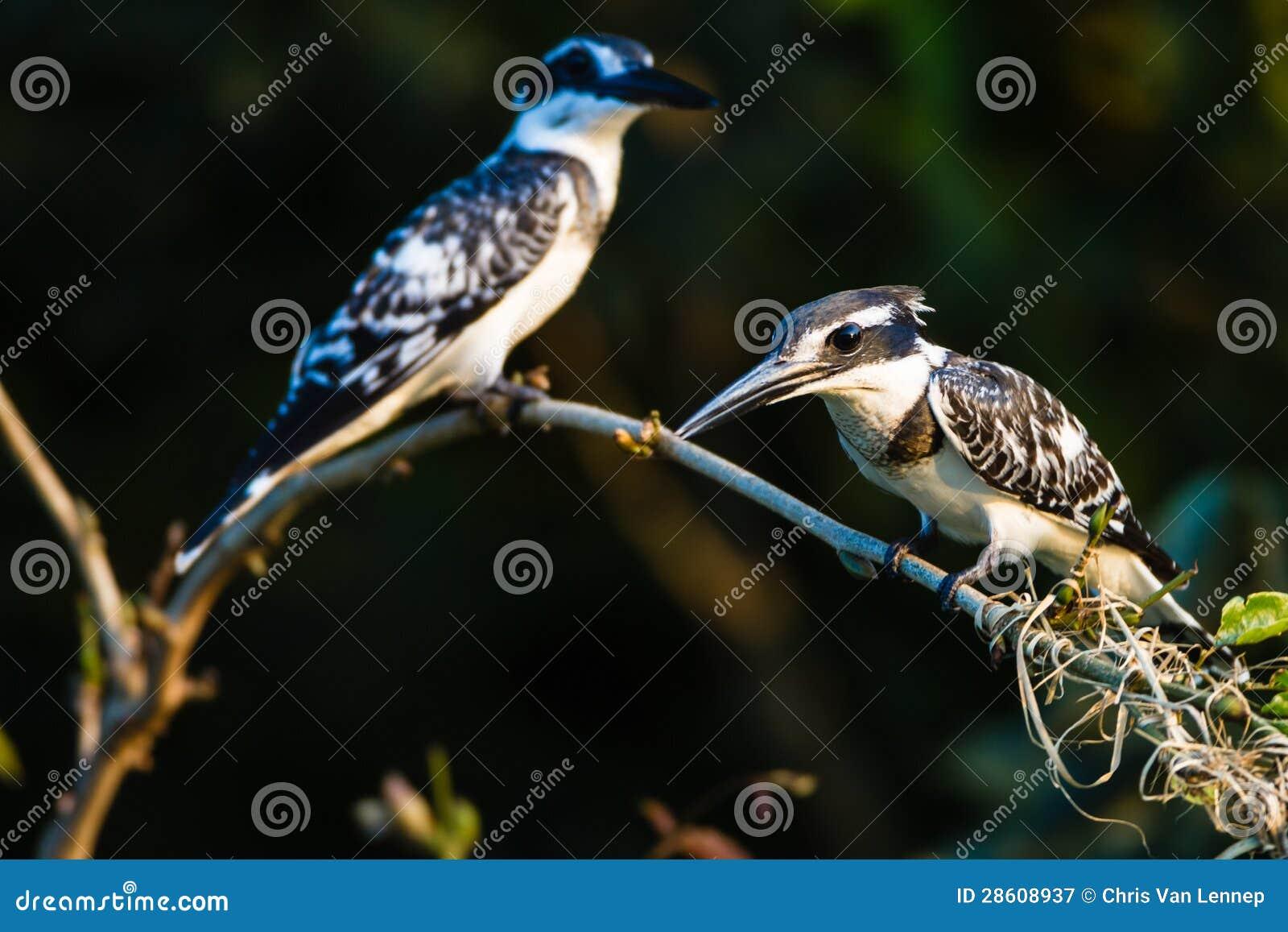 Gescheckte Eisvogel-Vögel