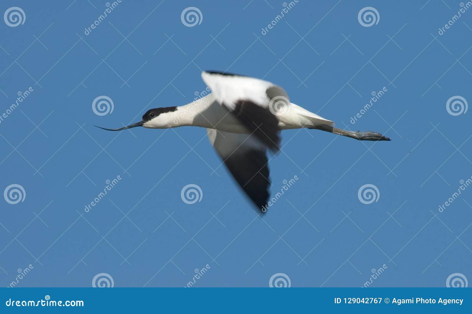 Gescheckter Avocet, Kluut, Recurvirostra avosetta