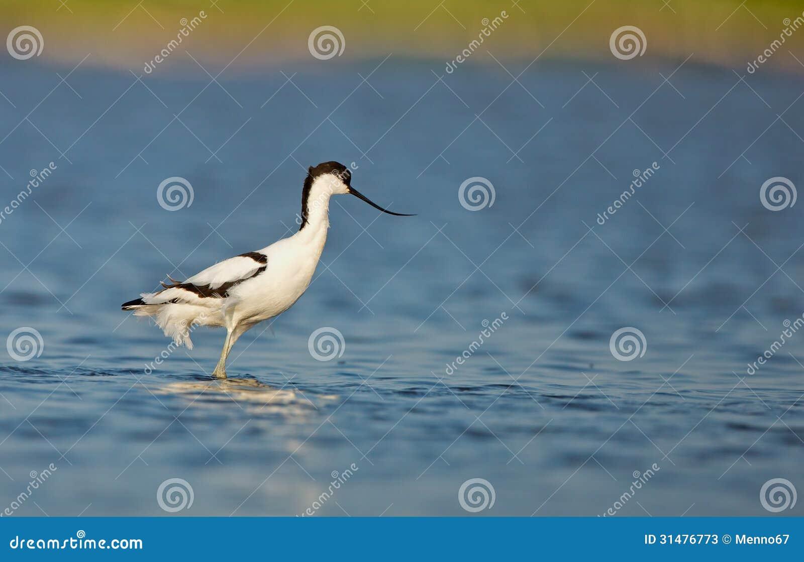 Gescheckter Avocet (Recurvirostra avosetta)
