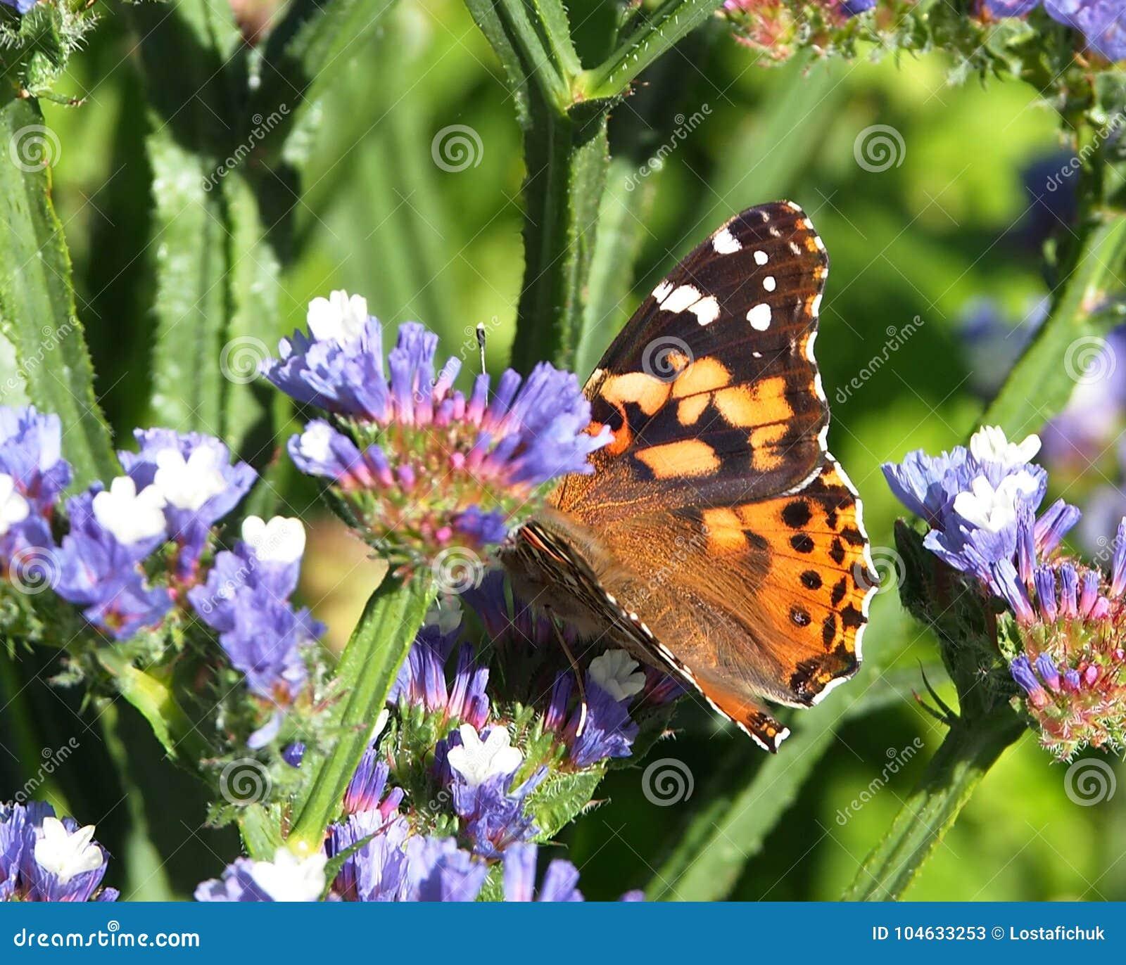 Download Geschilderd Dame Butterfly Or Vanessa Cardui On Statice Stock Afbeelding - Afbeelding bestaande uit geschilderd, schalen: 104633253