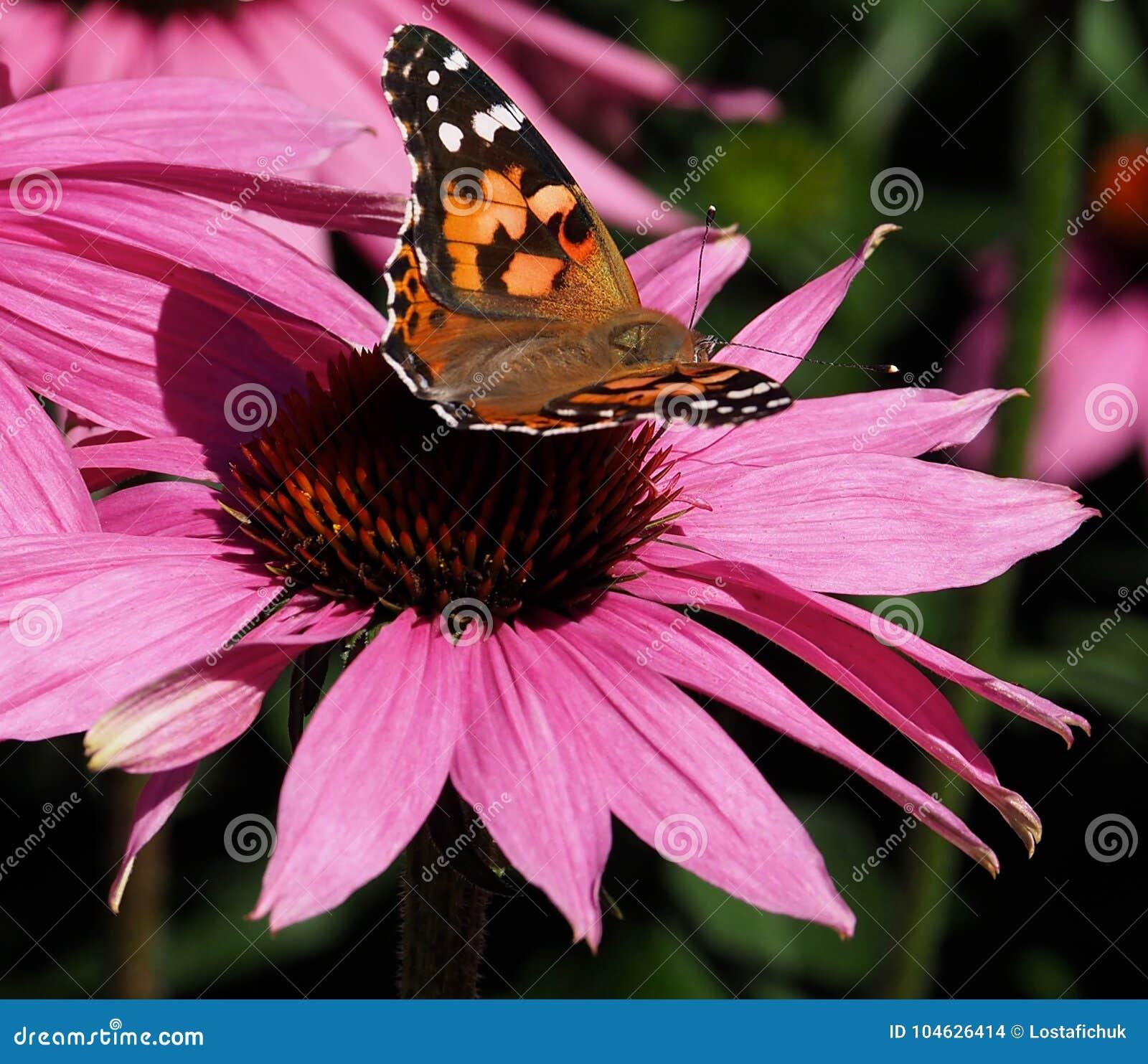 Download Geschilderde Damebutterfly Or Vanessa Cardui On Purple Cone Bloem Stock Foto - Afbeelding bestaande uit kegel, geschilderd: 104626414