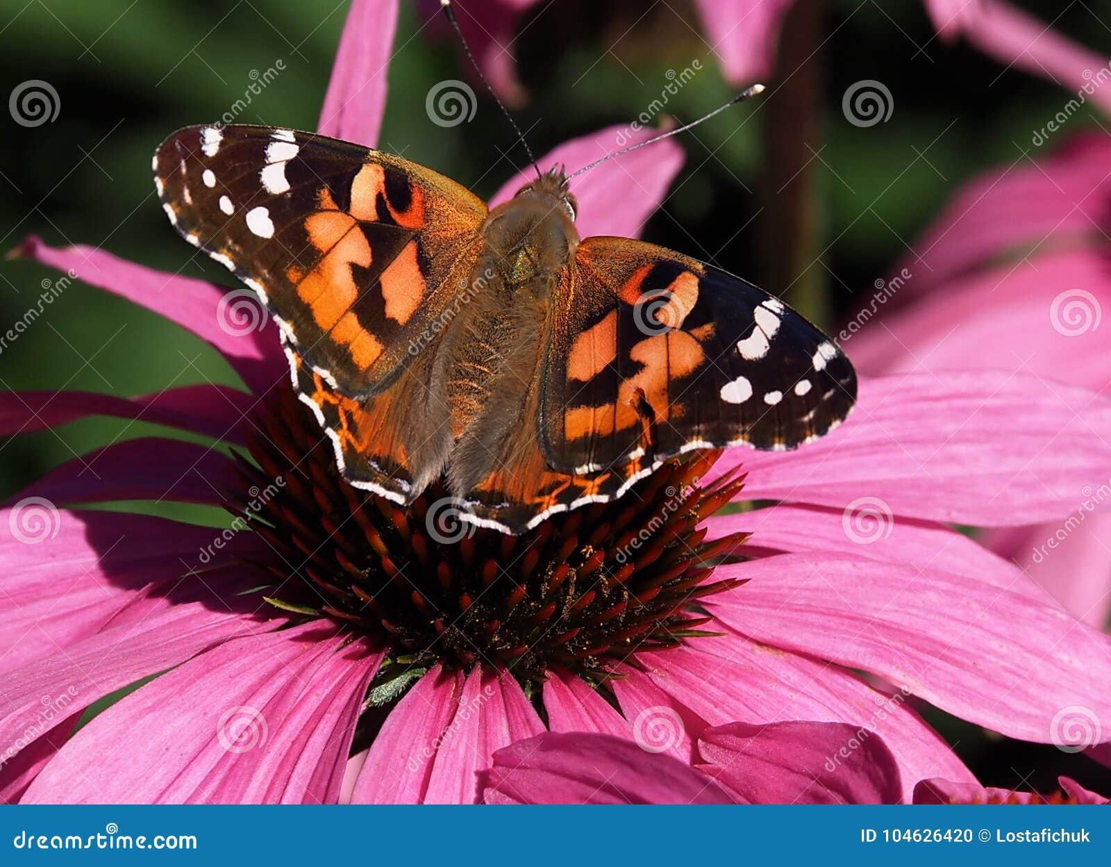 Download Geschilderde Damebutterfly Or Vanessa Cardui On Purple Cone Bloem Stock Foto - Afbeelding bestaande uit bloem, vanessa: 104626420