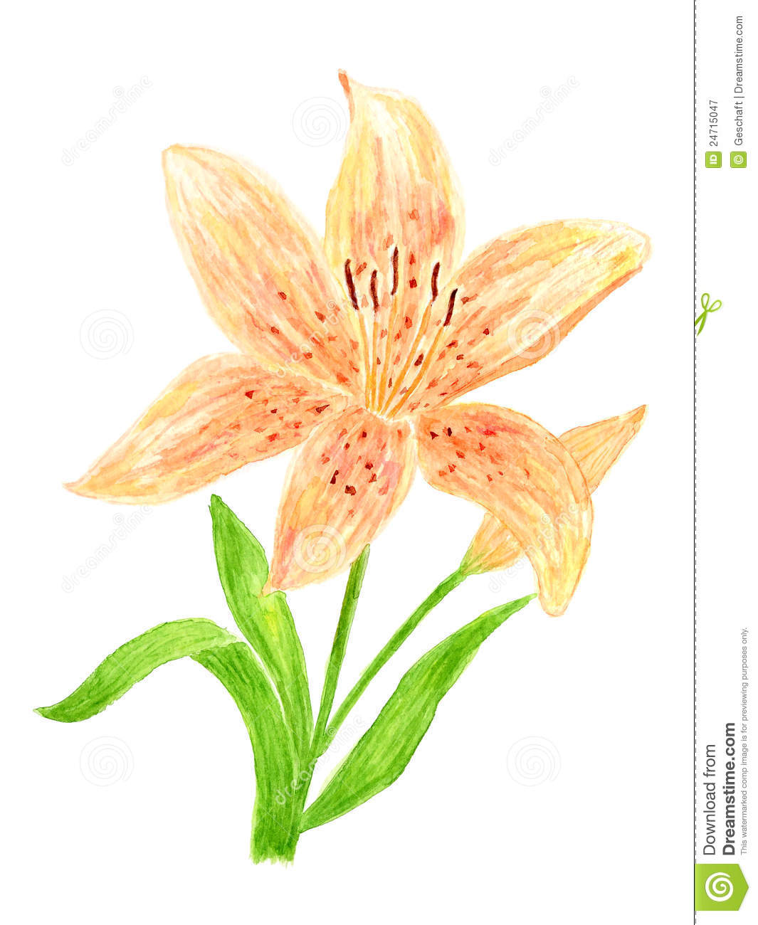 how to draw tiger lily step by step drawing tutorials