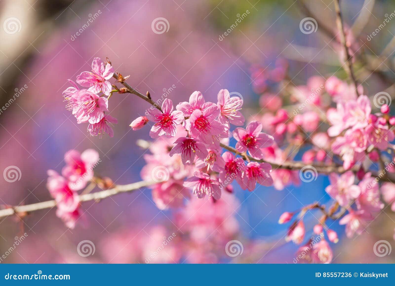 Geschlossene-oben wilde Himalajakirschblüte