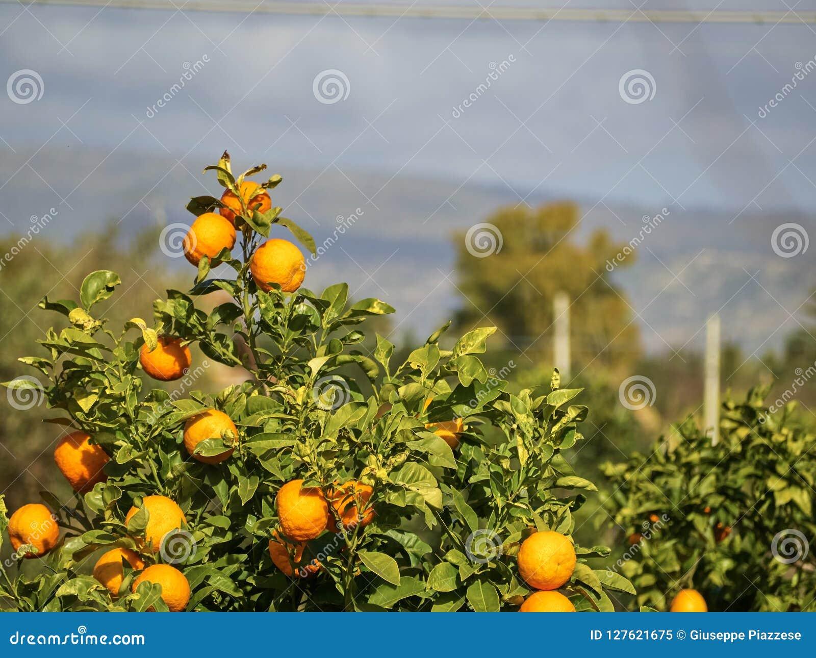 Geschoten van een mandarin boom van de boommandarijn