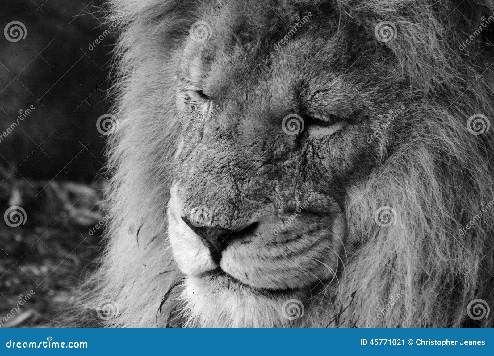 Geschrammter Löwe in Schwarzweiss