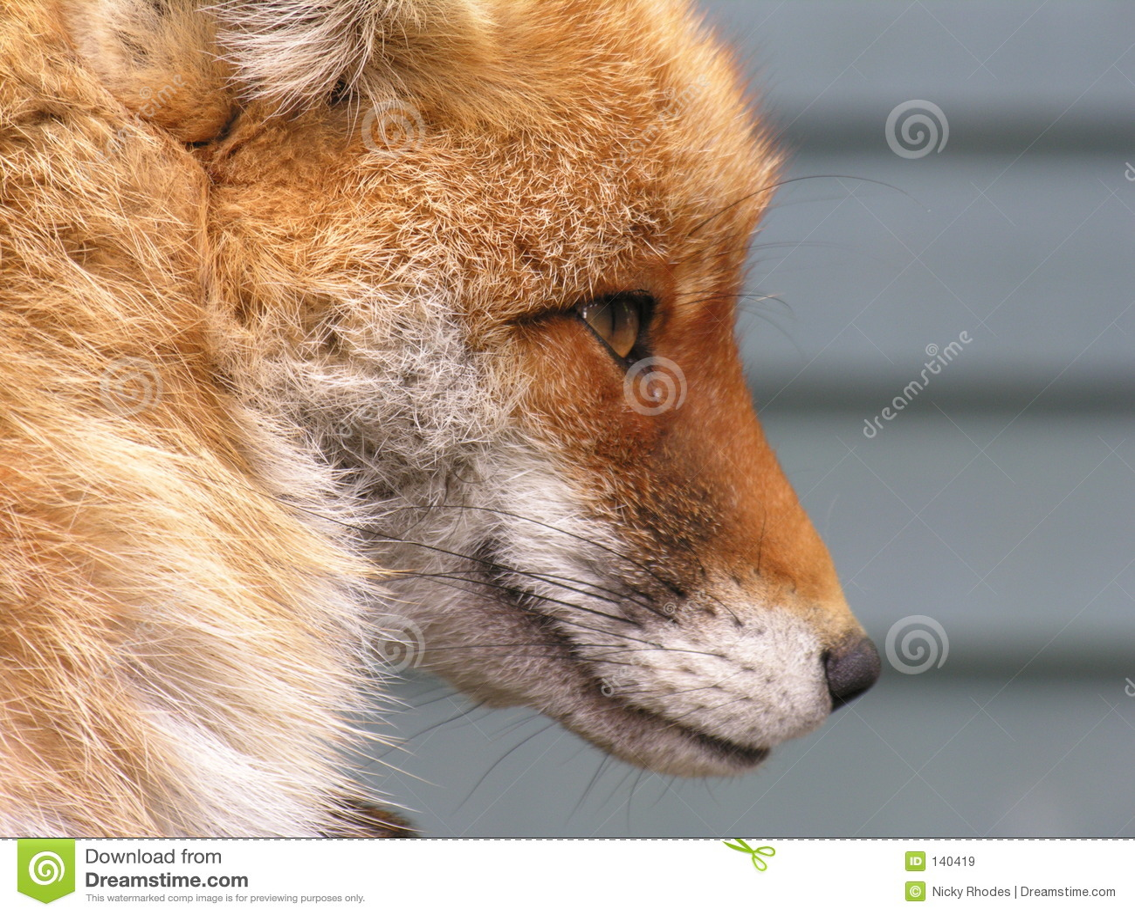Gesicht Foxs