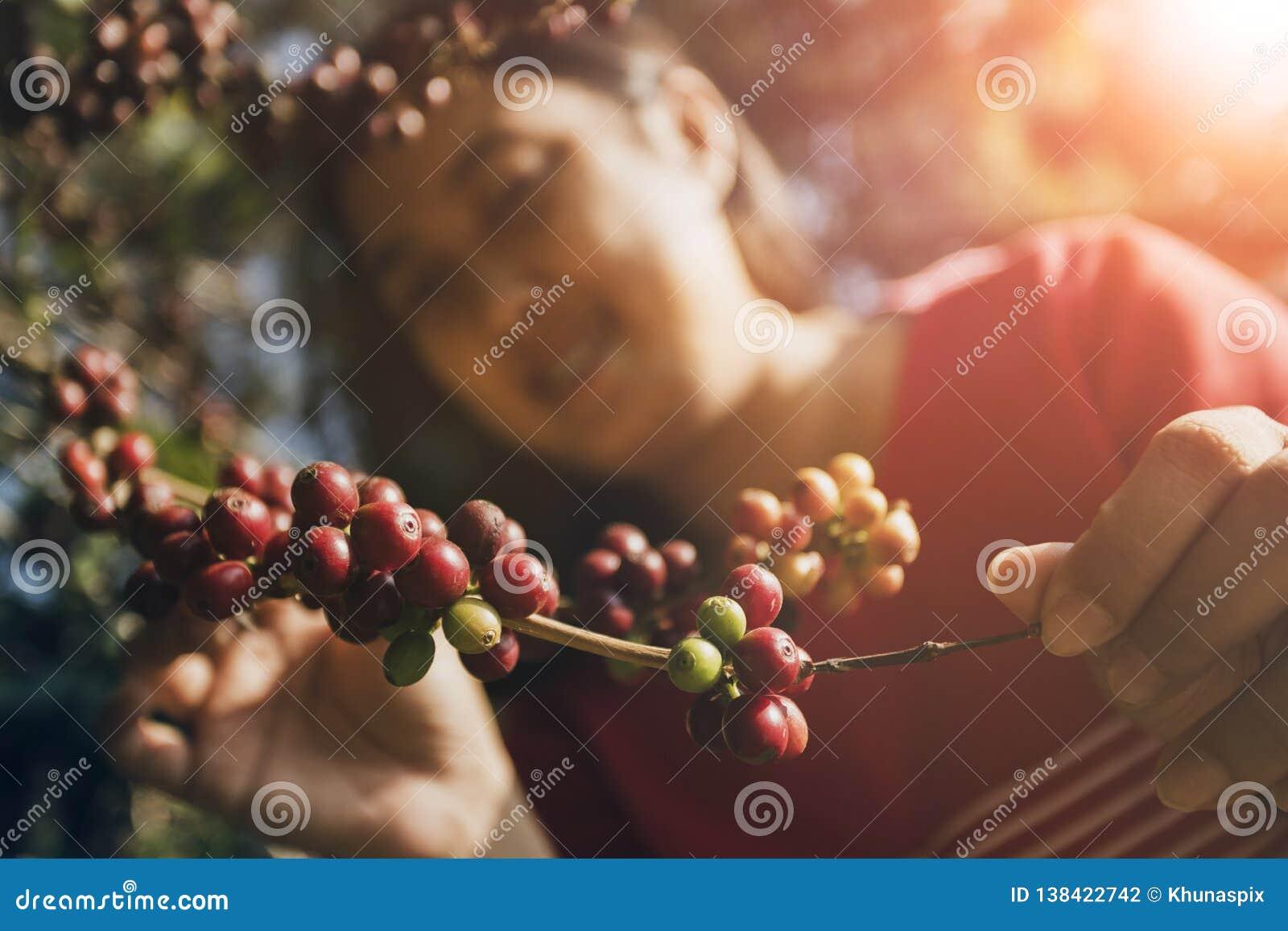 Gesichts-Glückgefühl der Asiatin lächelndes nahe Rohkaffeesamen auf Baumast