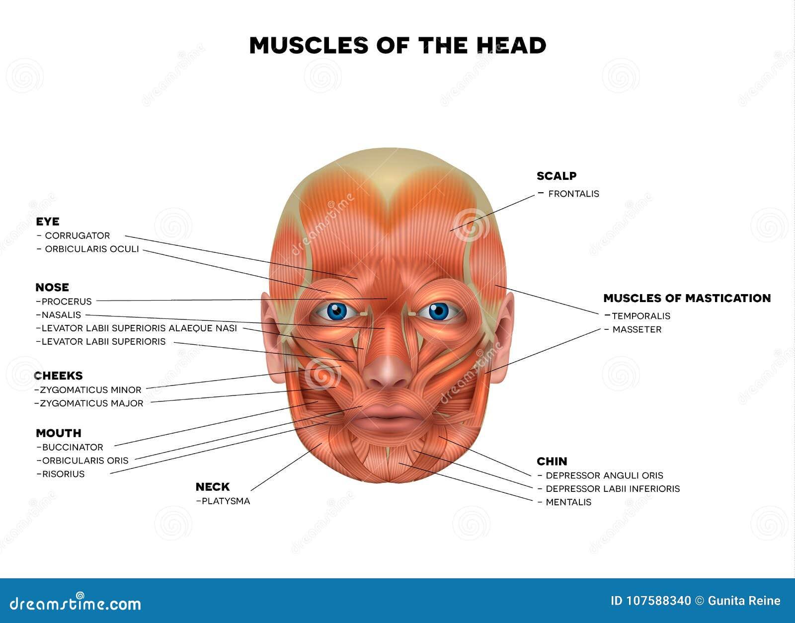 Gesichts-und Kopf Muskeln vektor abbildung. Illustration von ...