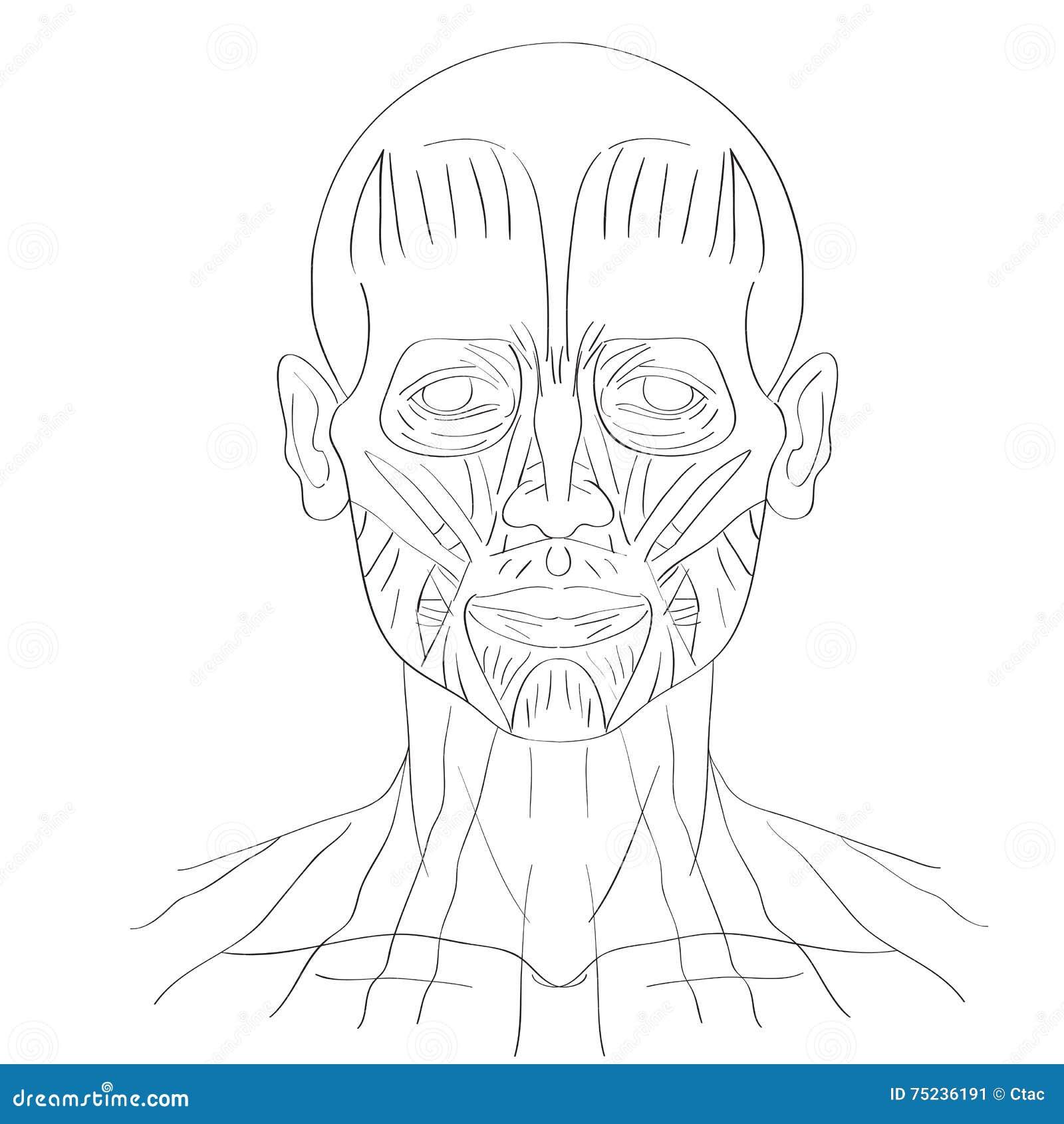Gesichtsmuskel vektor abbildung. Illustration von anatomie - 75236191
