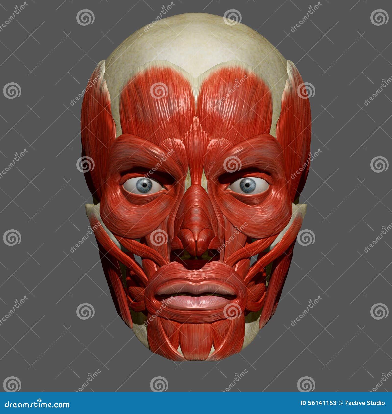 Gesichtsmuskeln stock abbildung. Illustration von anatomie - 56141153