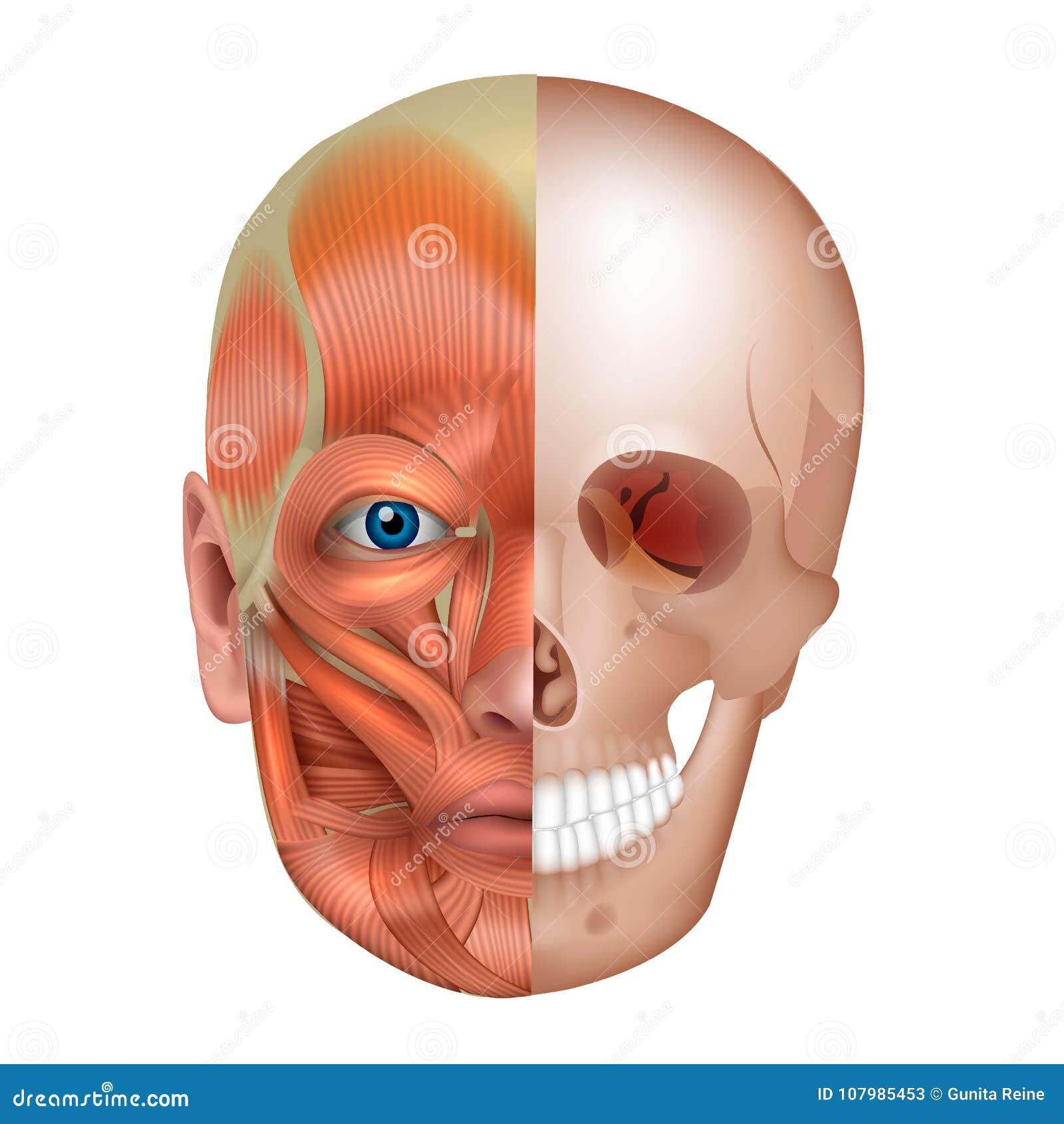 Gesichtsmuskeln Und Knochen Vektor Abbildung - Illustration von ...