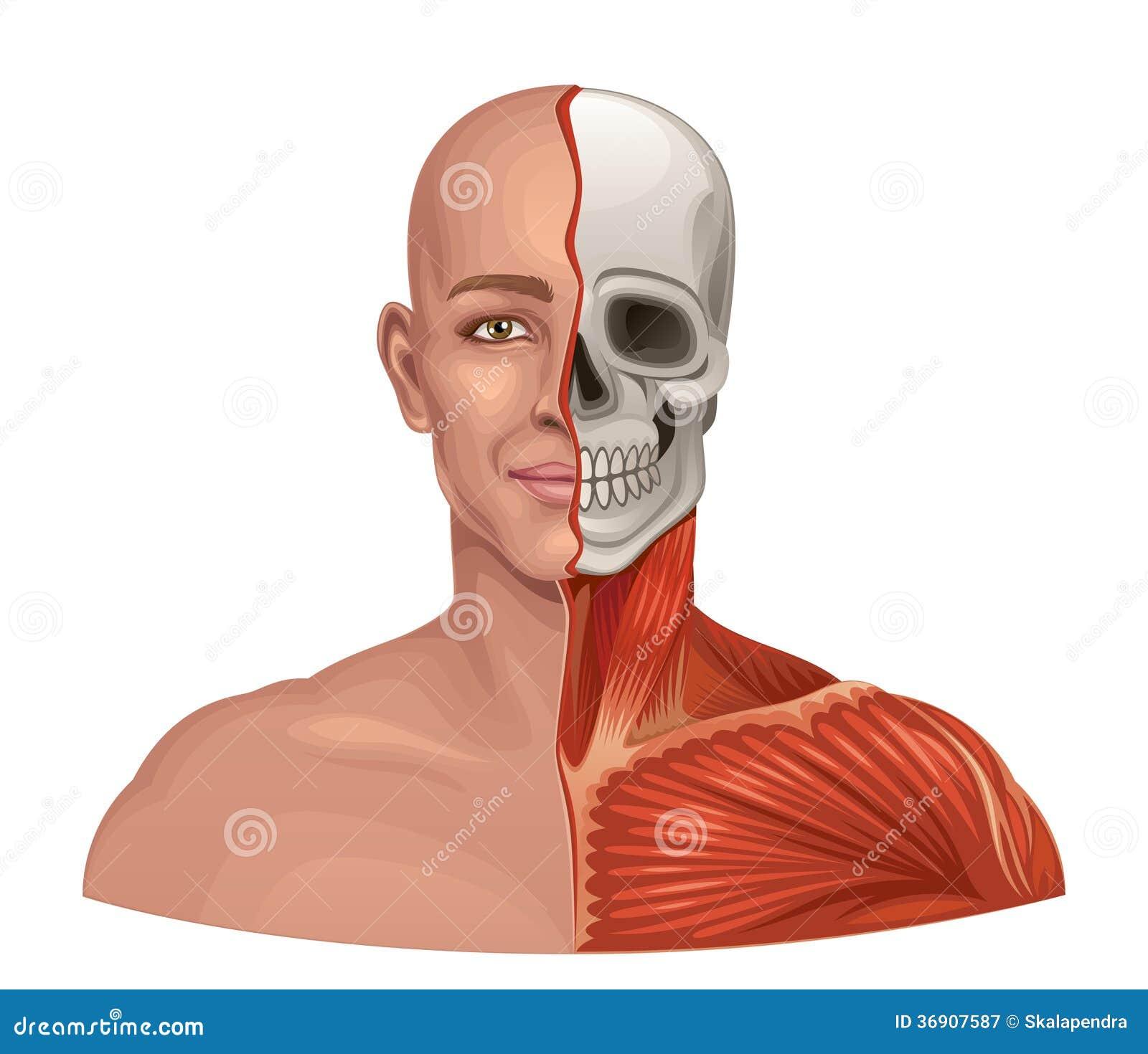 Gesichtsmuskeln Und Schädel Der Menschlichen Anatomie Vektor ...
