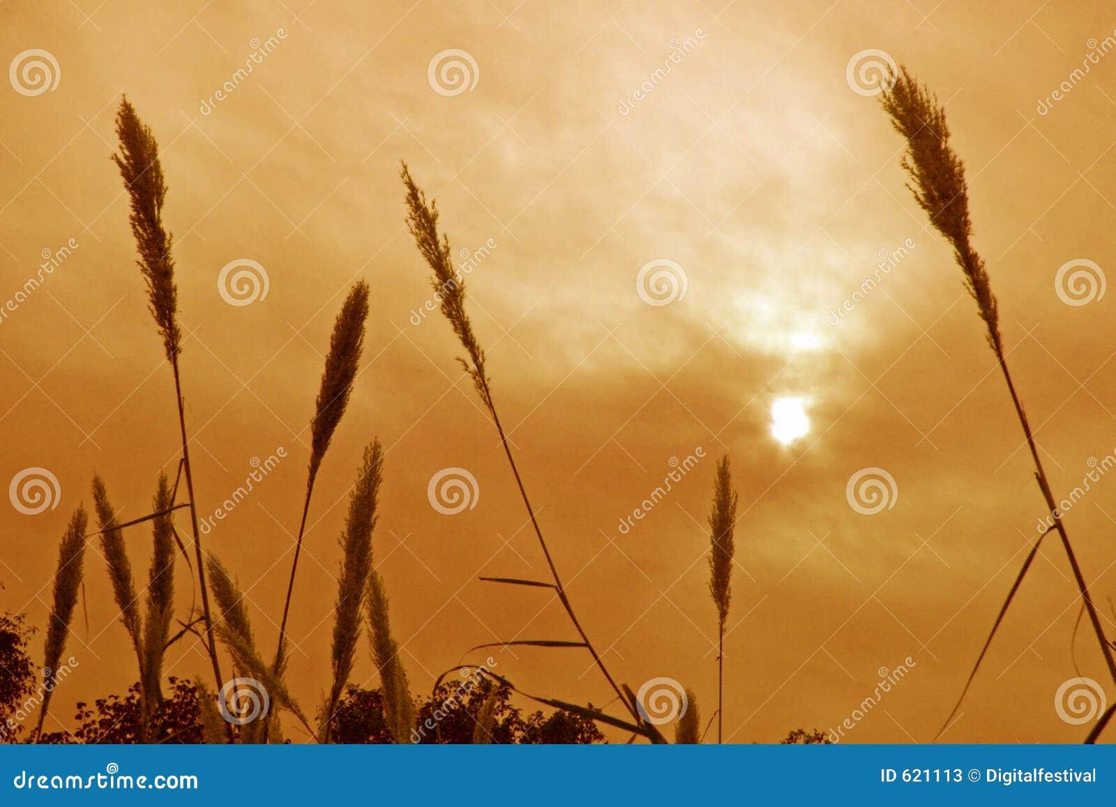 Gesilhouetteerde gras en installaties tegen de zon