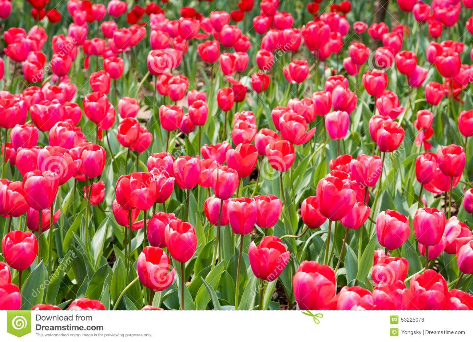 Gesneriana de Tulipa
