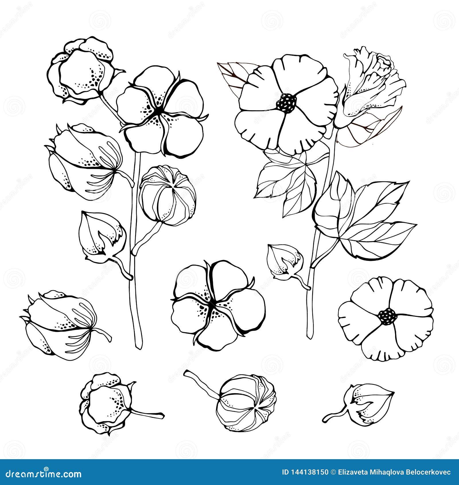 Gestileerde beeldenreeks witte katoenen bloemen Vector geplaatste illustraties Katoenen bloeminstallatie, organische bal pluizige