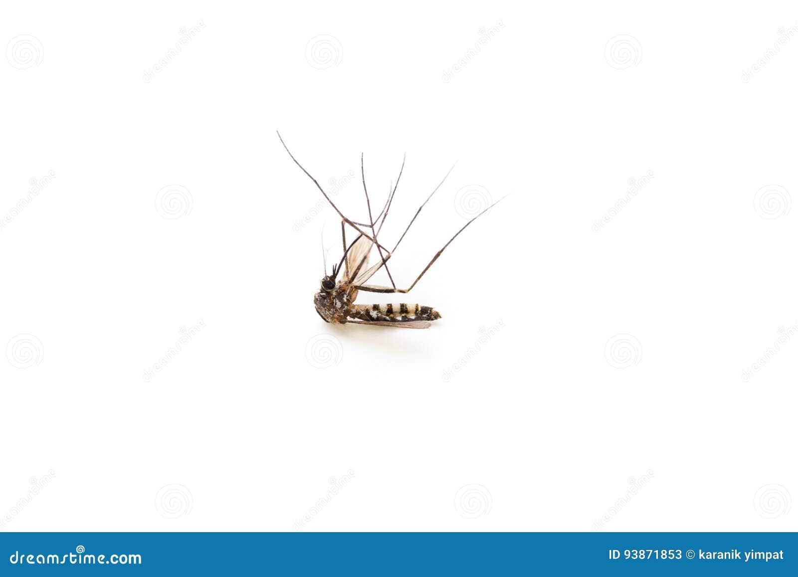 Gestorven mug, macro op witte achtergrond