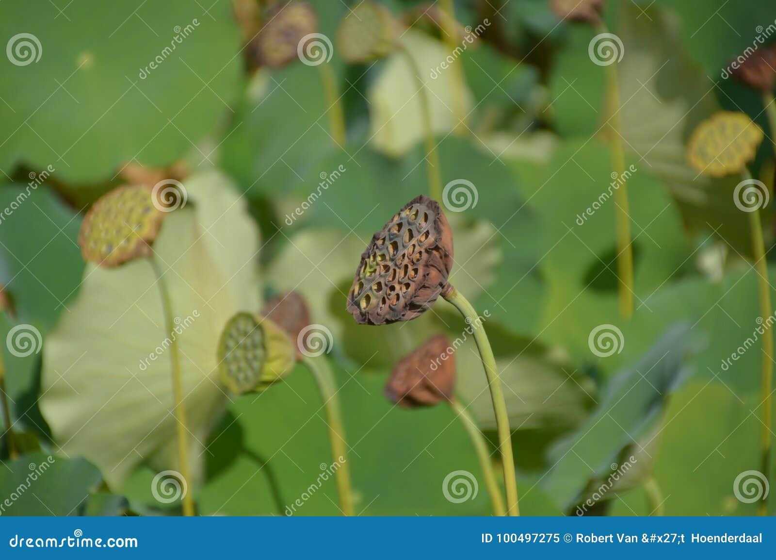 Gestorven Water Lily In een Japanse Vijver