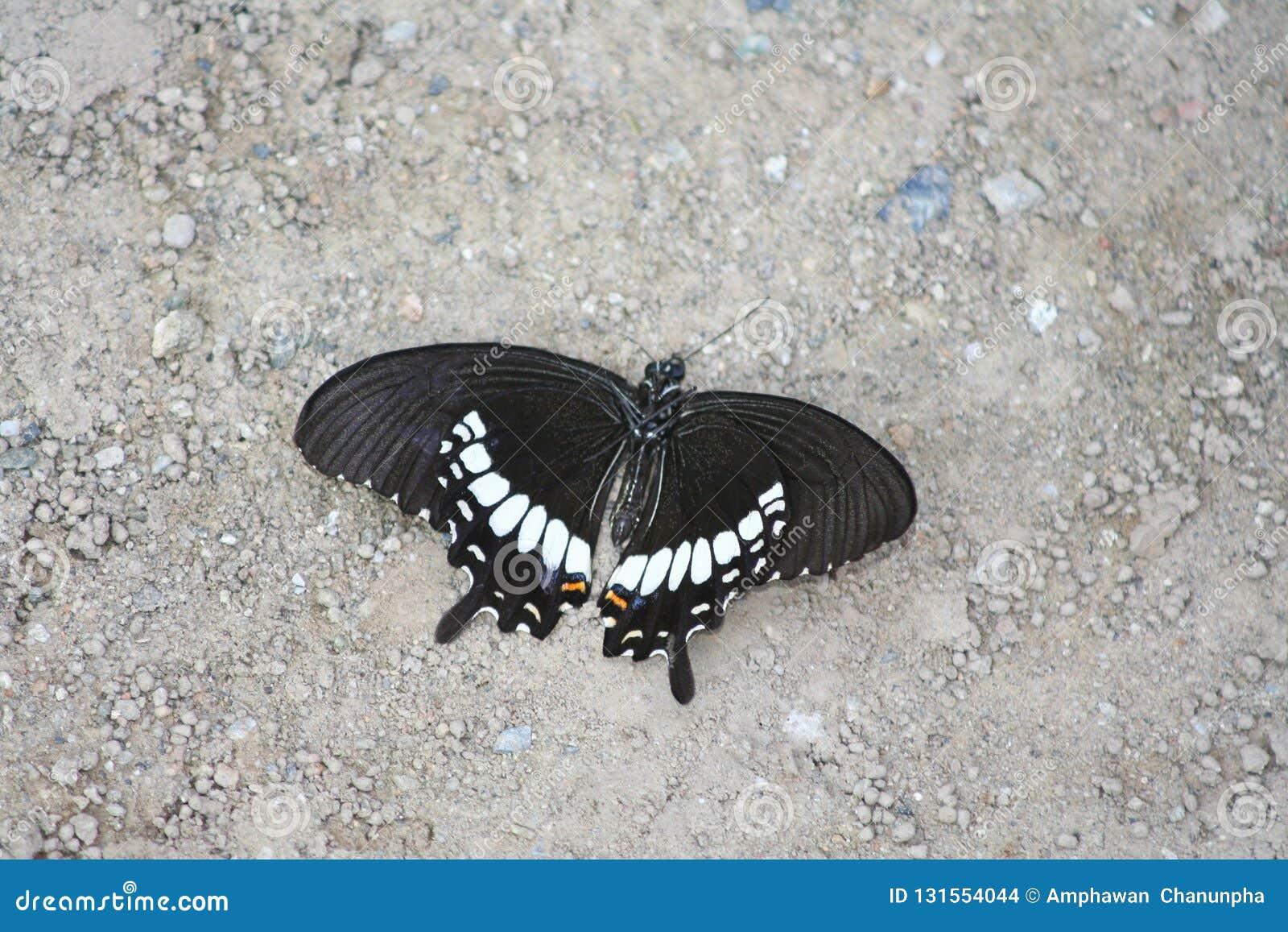 Gestorven zwarte vlinder ter plaatse