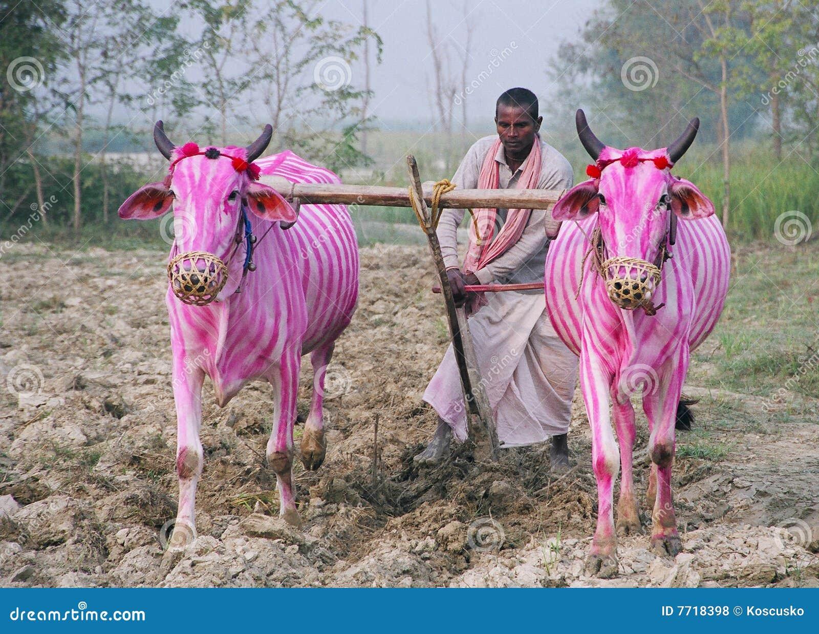 Gestreept-koeien, Nepal