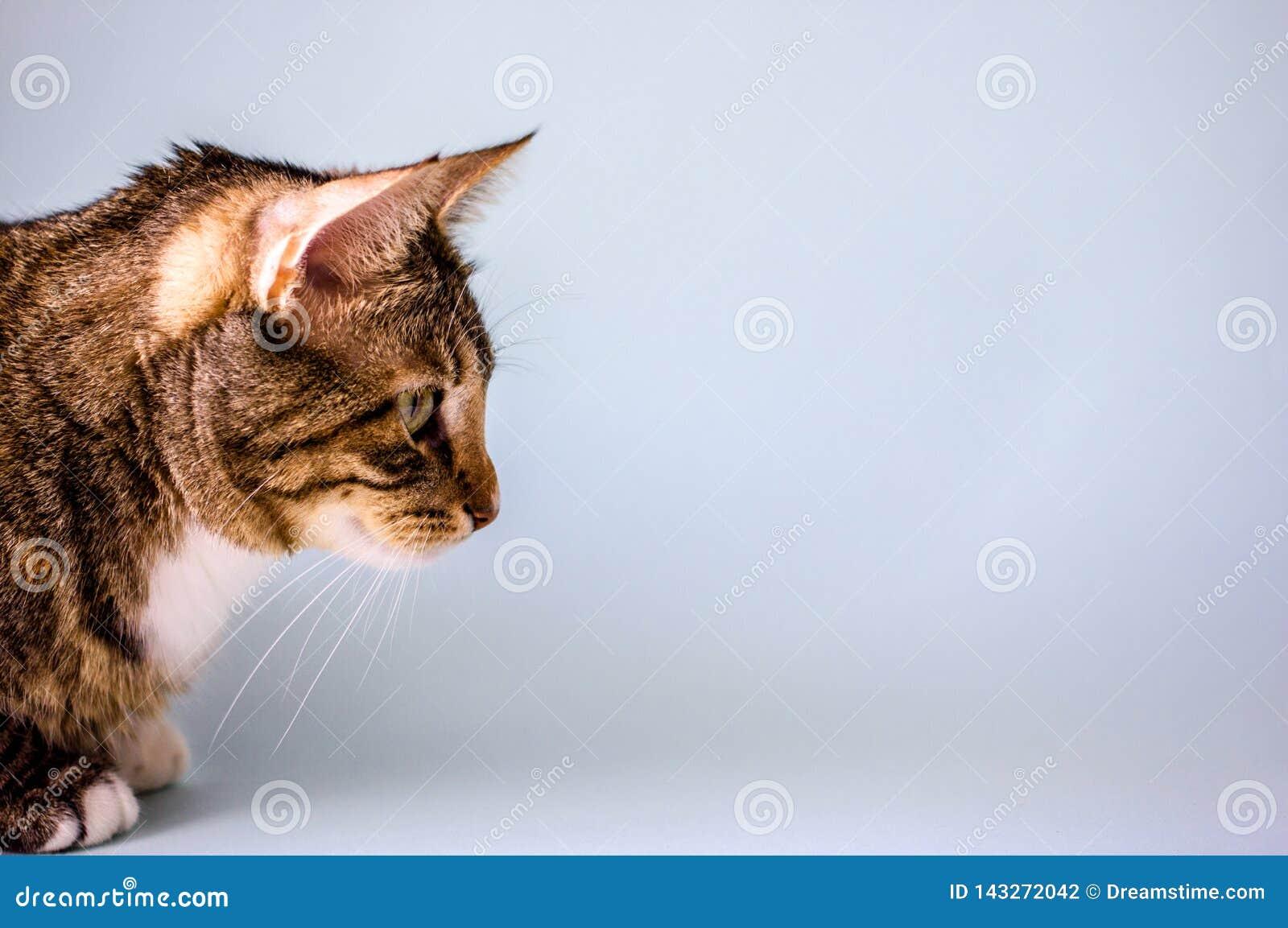 Gestreepte binnenlandse kat, zijaanzicht