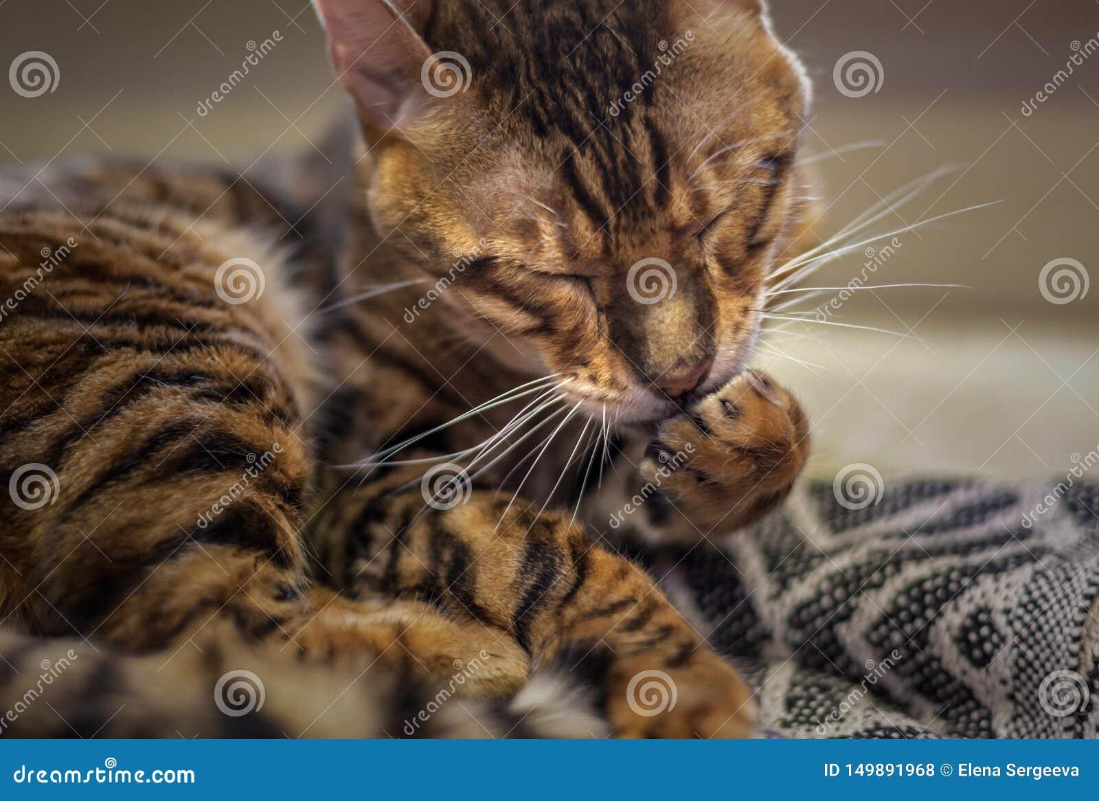 Gestreepte kat die poot likken