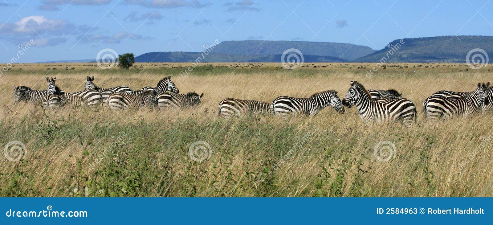 Gestreepte kudde Serengeti Tanzania